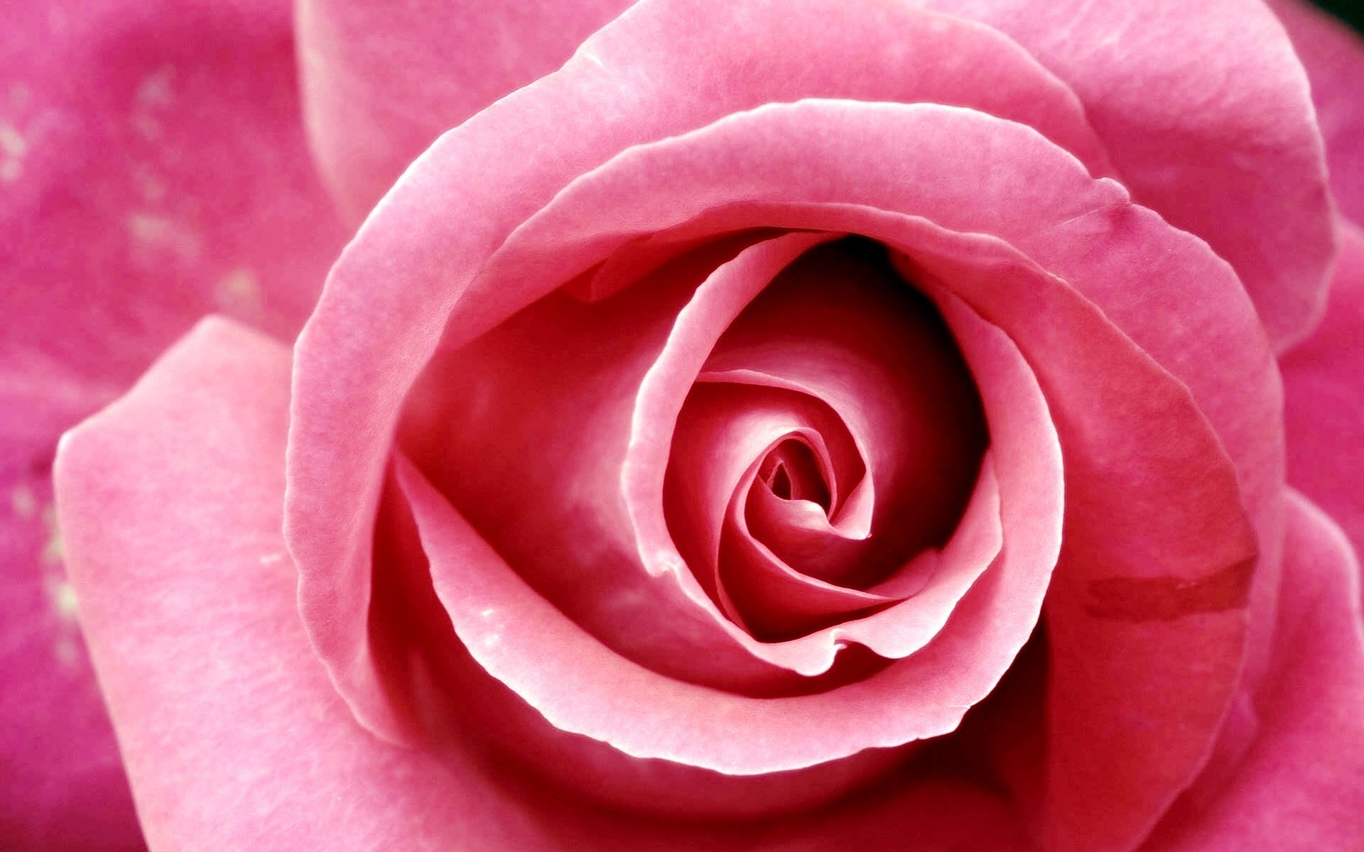 Res: 1920x1200, Beautiful Pink Rose Wallpapers
