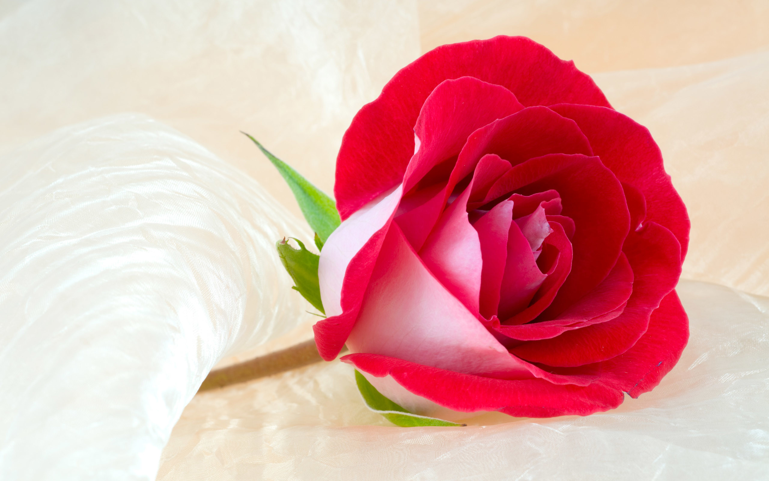 Res: 2560x1600, rose wallpaper free photos: Beautiful Rose Flower Wallpaper