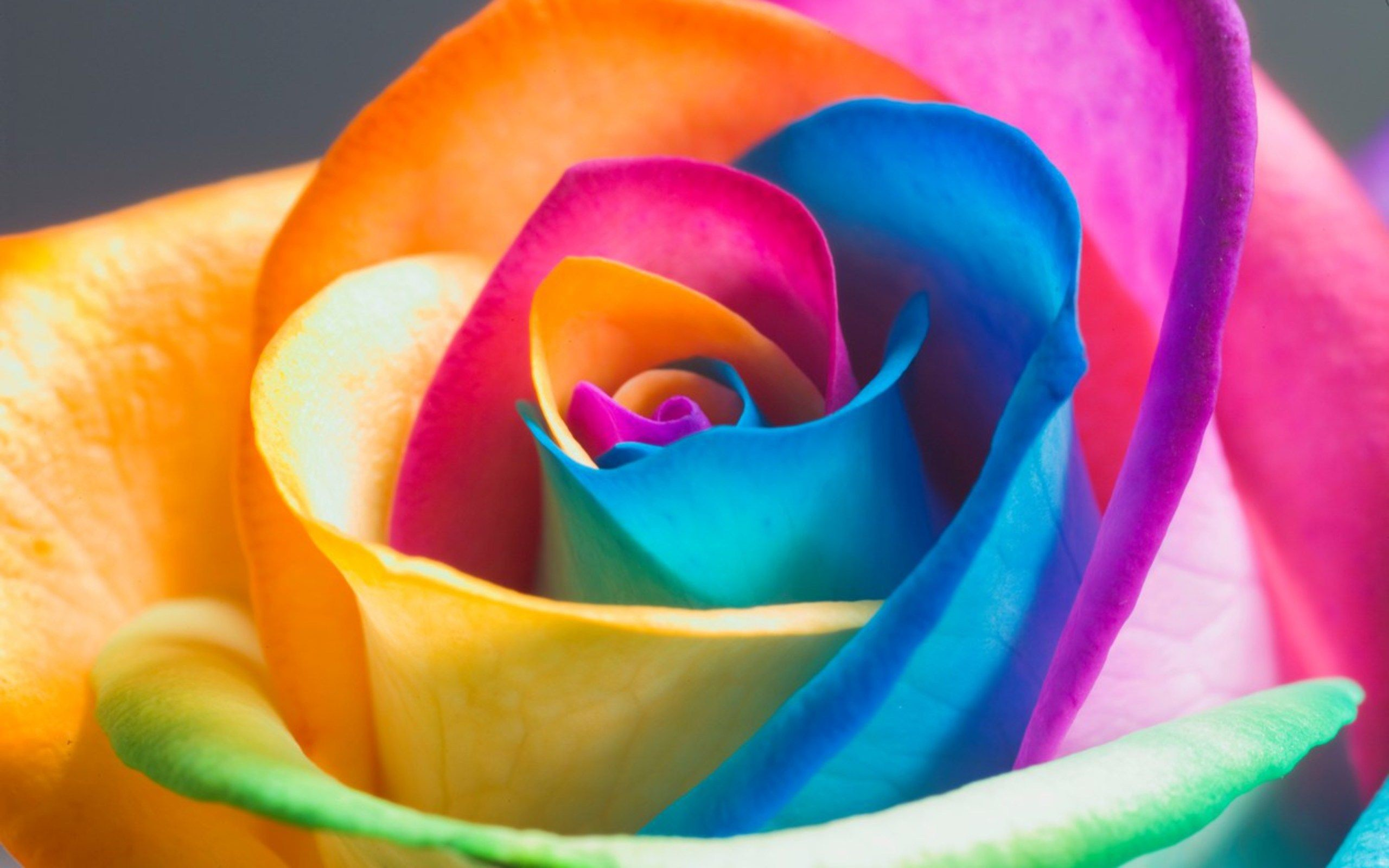 Res: 2560x1600, Colorful Rose Wallpapers HD : Find best latest Colorful Rose Wallpapers HD  for your PC desktop background and mobile phones.