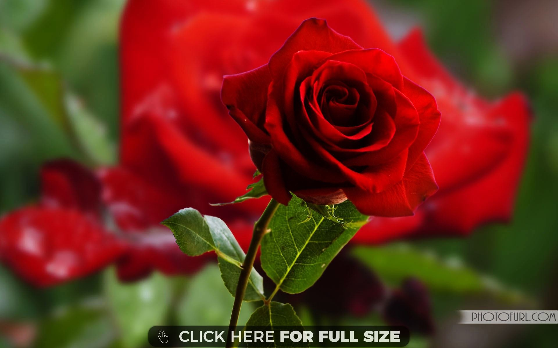 Res: 1920x1200, wallpaper of rose flower for mobile #482693 ... Beautiful ...