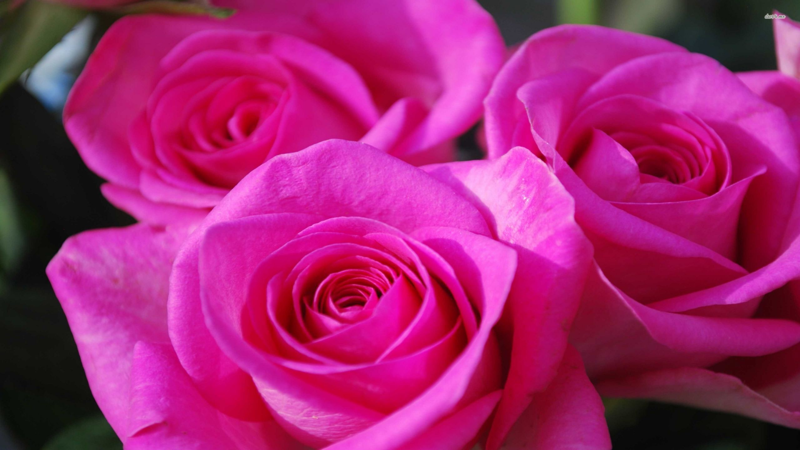 Res: 2560x1440, ... Beautiful pink roses wallpaper  ...