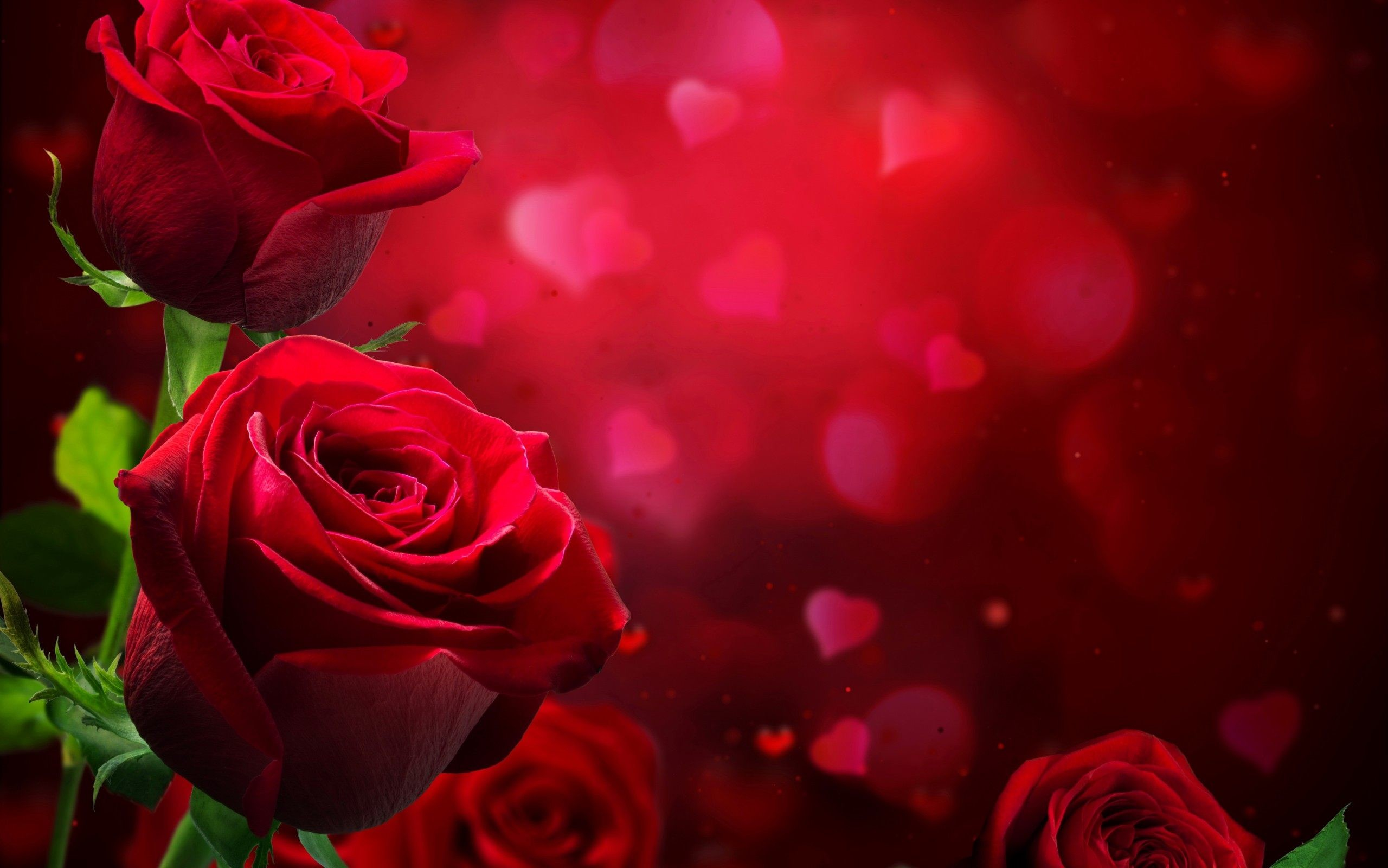 Res: 2560x1600, beautiful roses wallpapers photos pics images pictures (15)