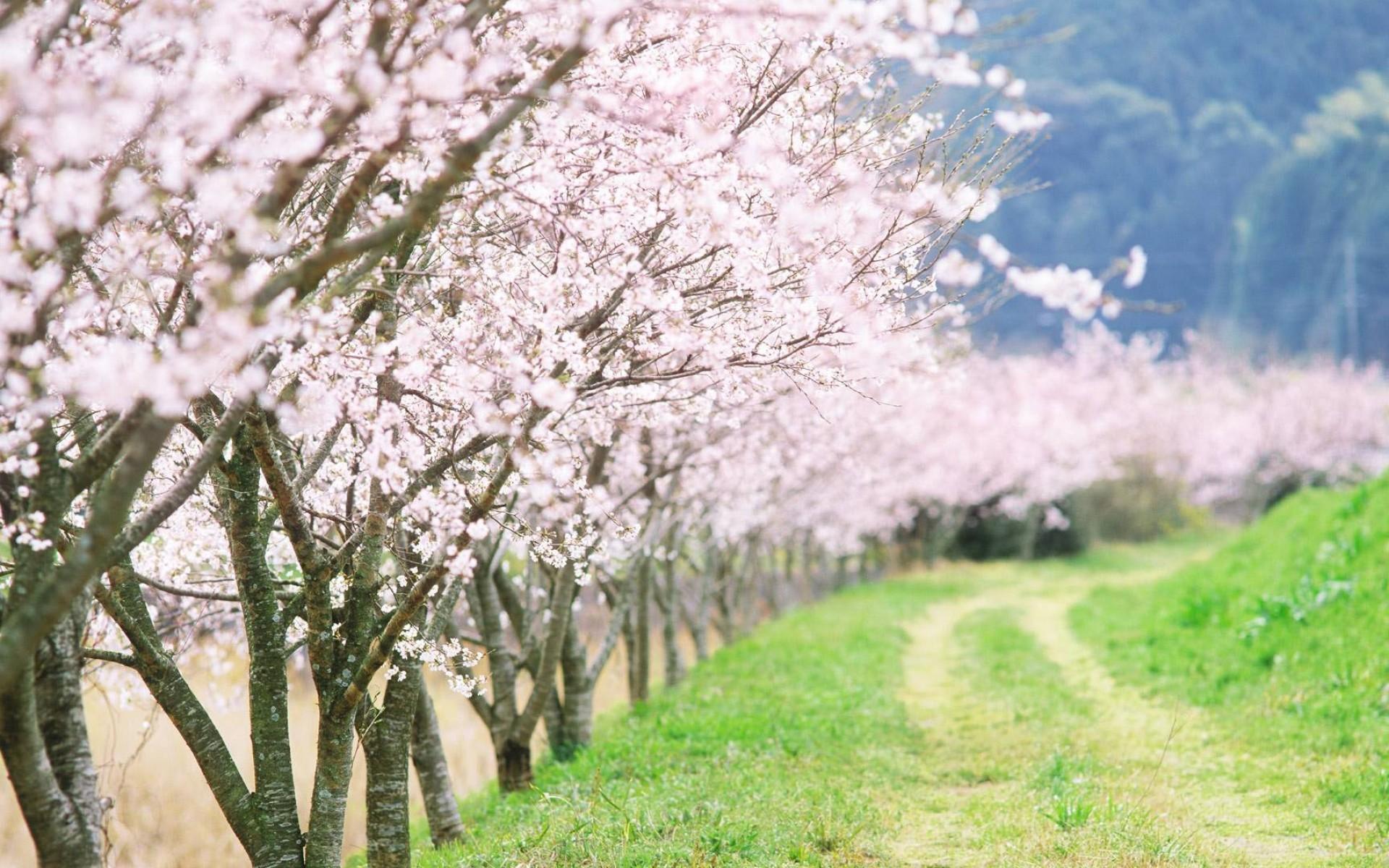 Res: 1920x1200, Spring Flowering Wallpaper