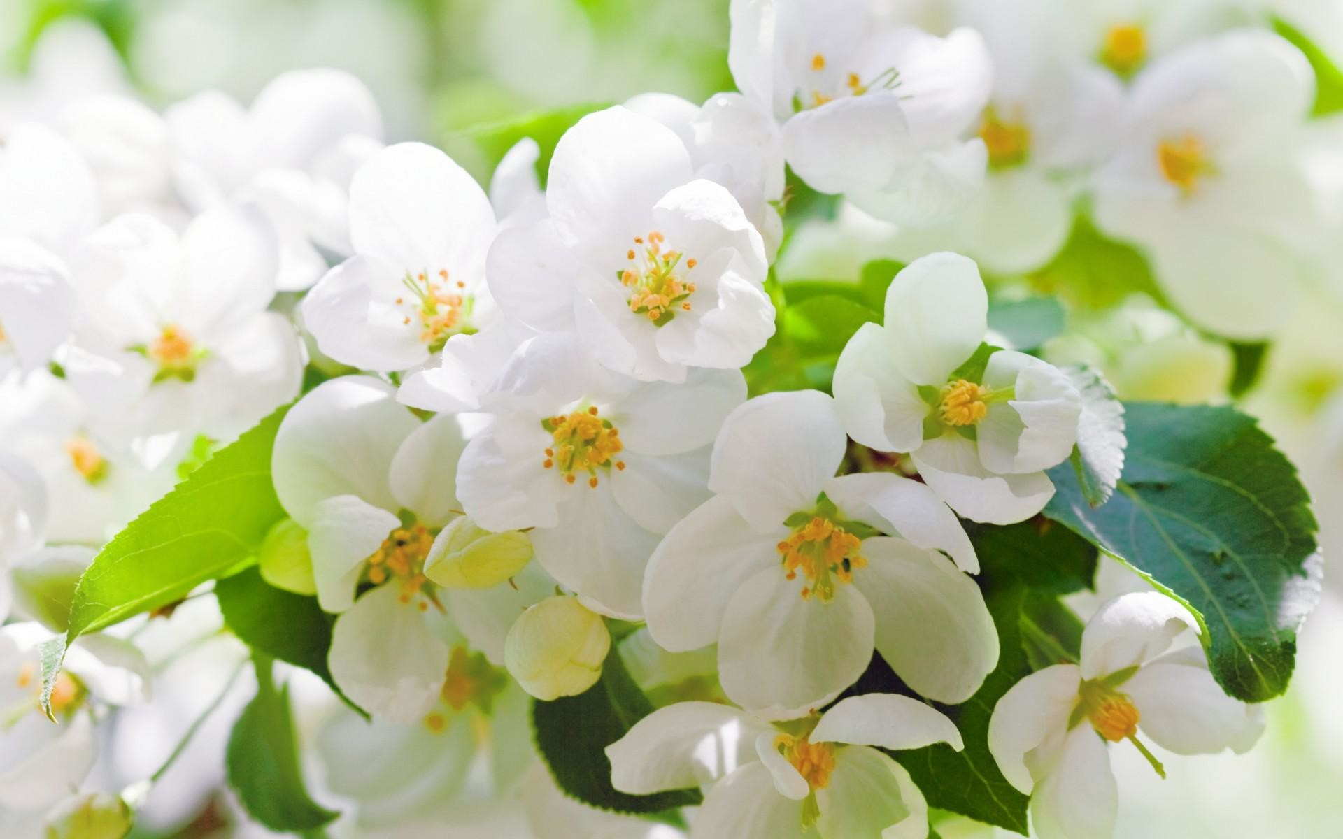 Res: 1920x1200, Cherry Blossoms Flowers White Petals Leaves Branches Trees Spring HD  Widescreen wallpaper thumb