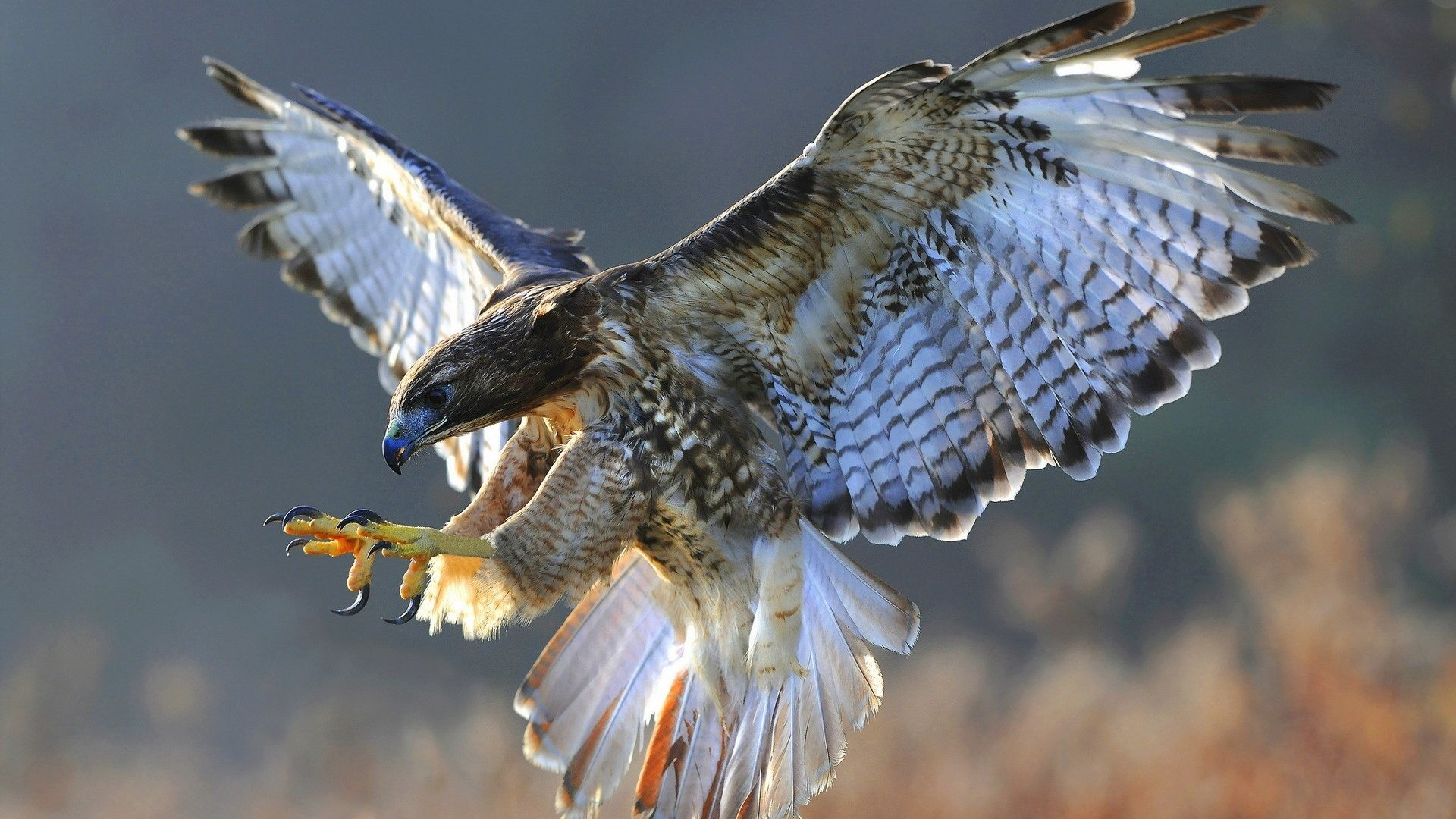 Res: 1920x1080, Hawk Tag - Flight Nature Bird Hawk Wallpaper Birds Hd Download for HD 16:9