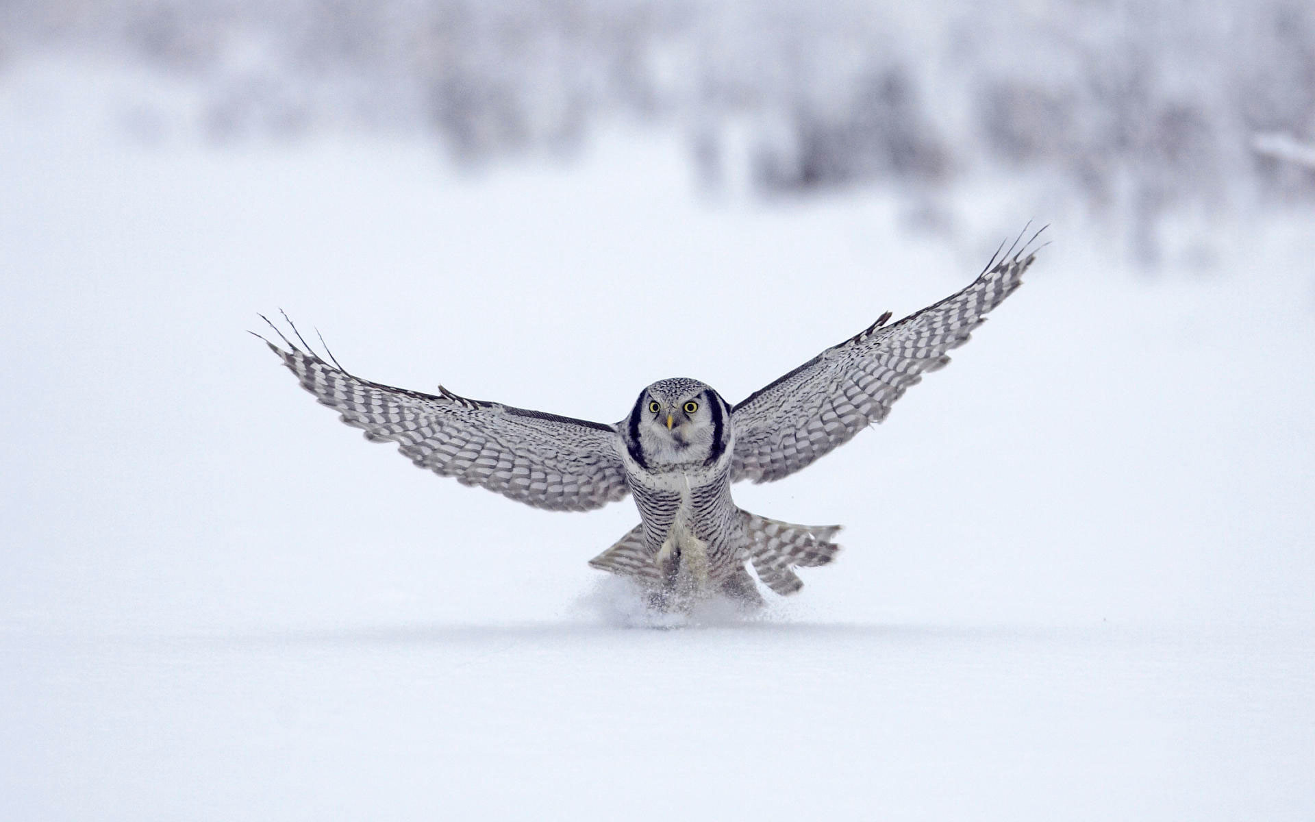 Res: 1920x1200, Northern Hawk Finland Wallpaper