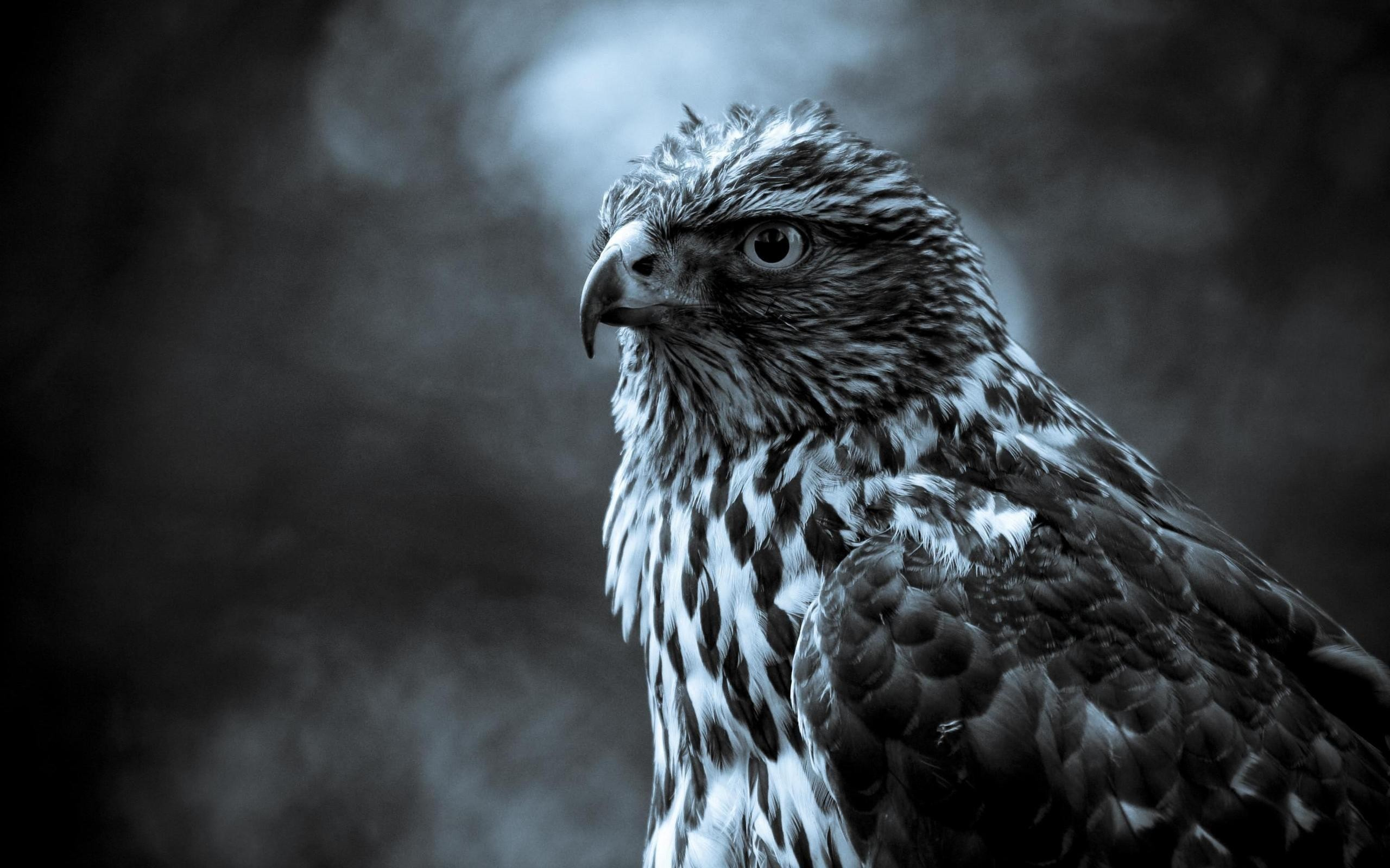 Res: 2560x1600, ... Beautiful Hawk Wallpaper | Wallpapers-Web ...