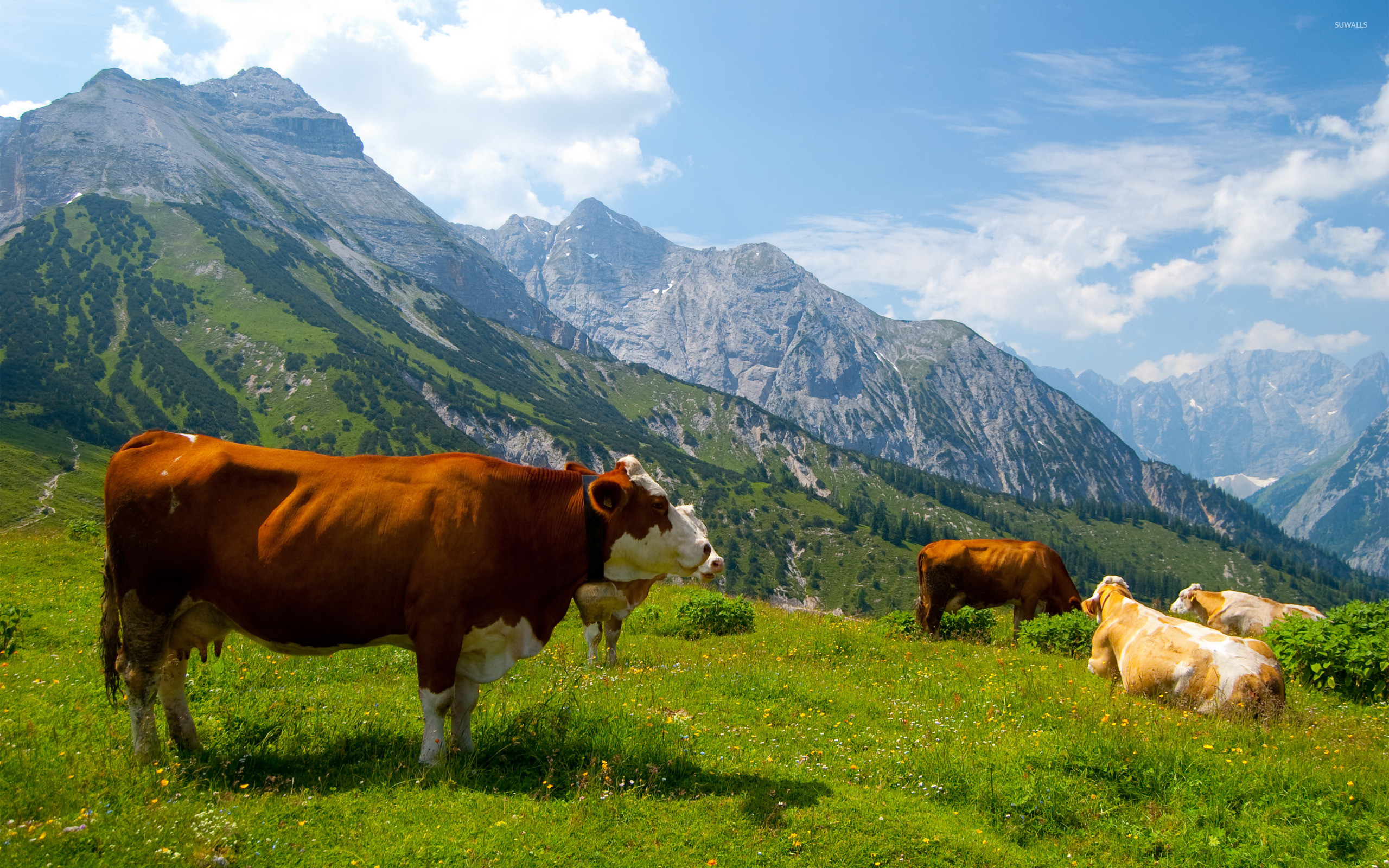 Res: 2560x1600, Cows in the Alps [3] wallpaper