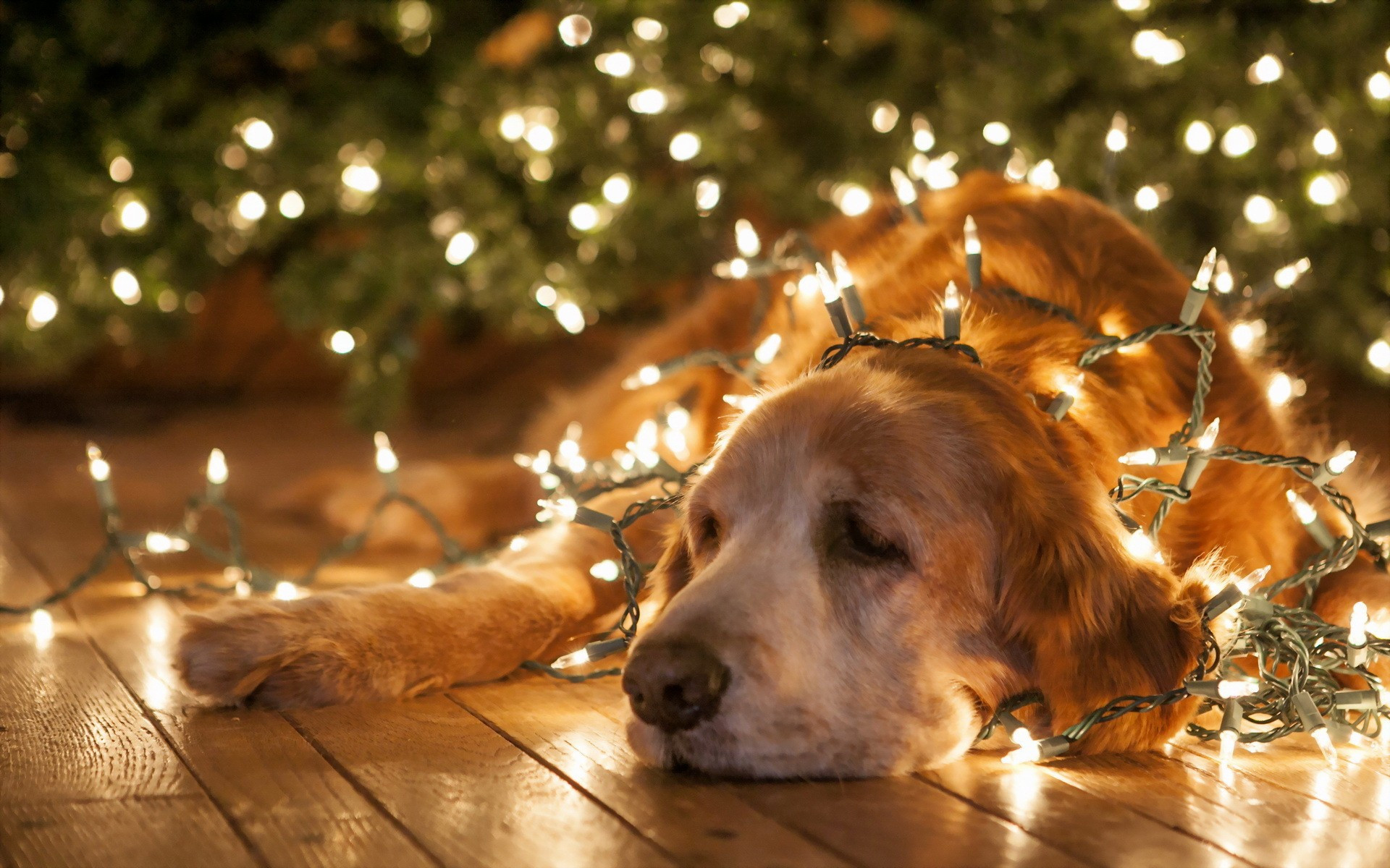 Res: 1920x1200, Pretty Christmas | Free Hd Top Most Downloaded Wallpapers - Page 4 as Pet Christmas  Wallpaper