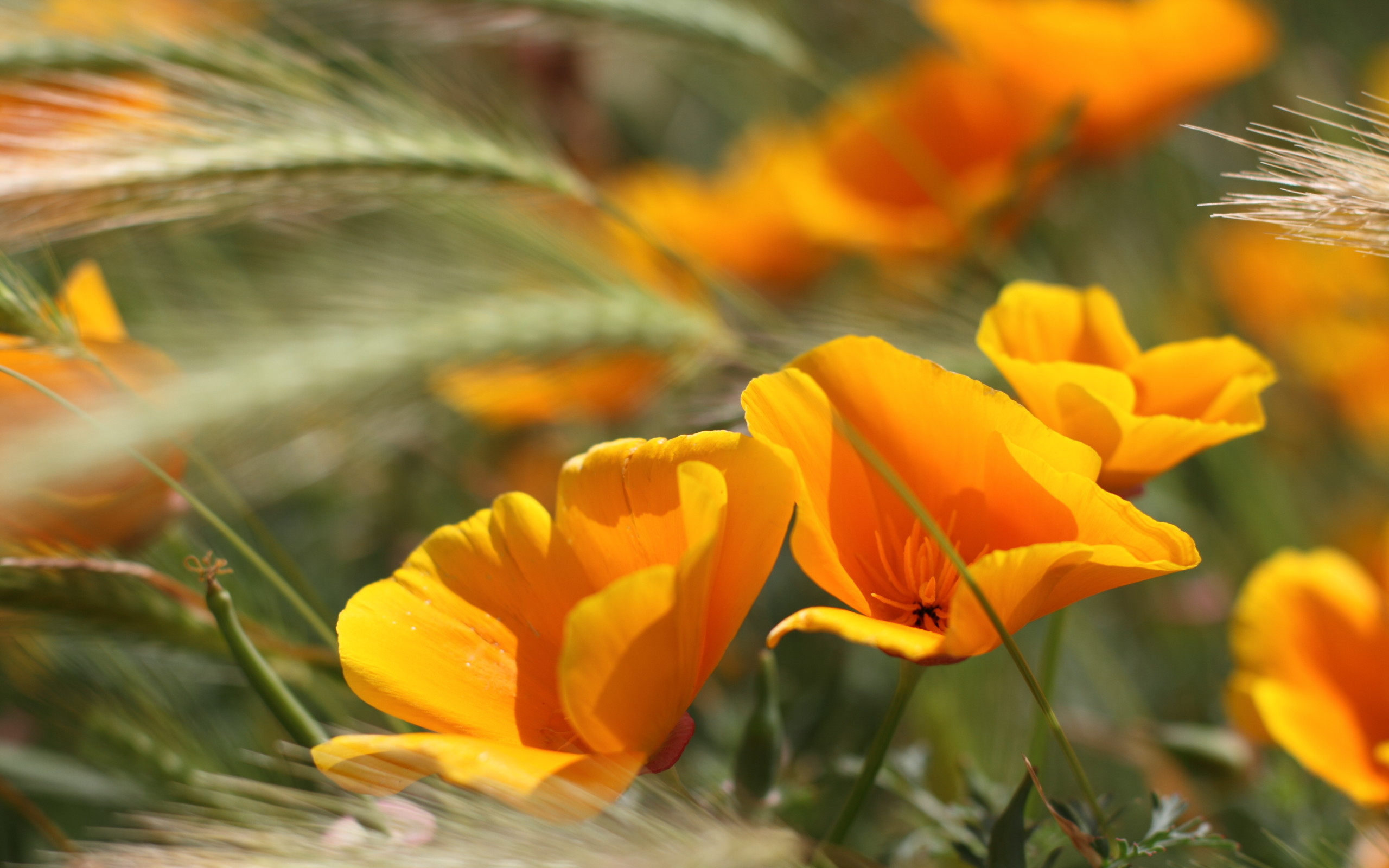 Res: 2560x1600, Summer Flowers Wallpaper