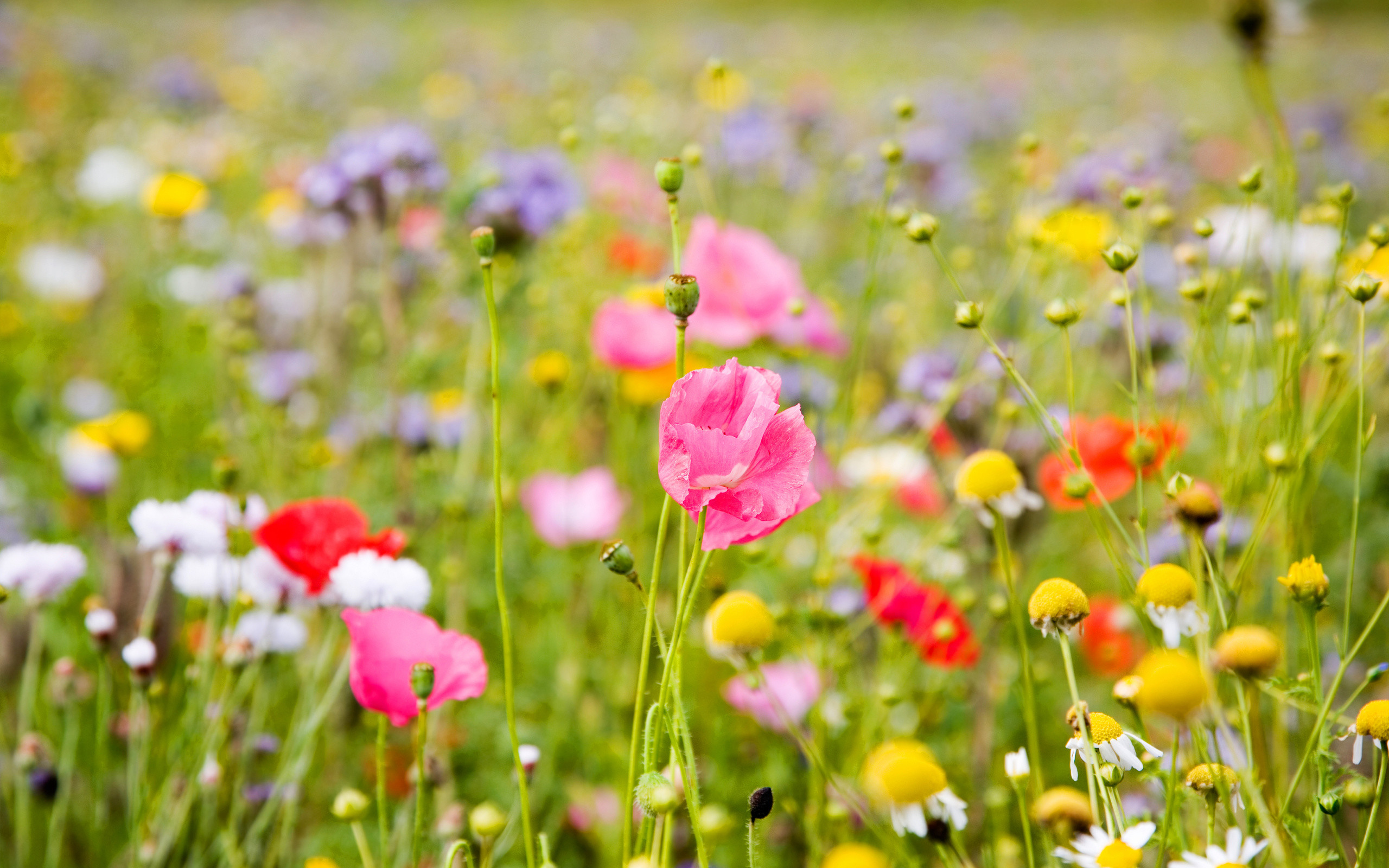 Res: 2560x1600, Summer Flowers Wallpapers Free