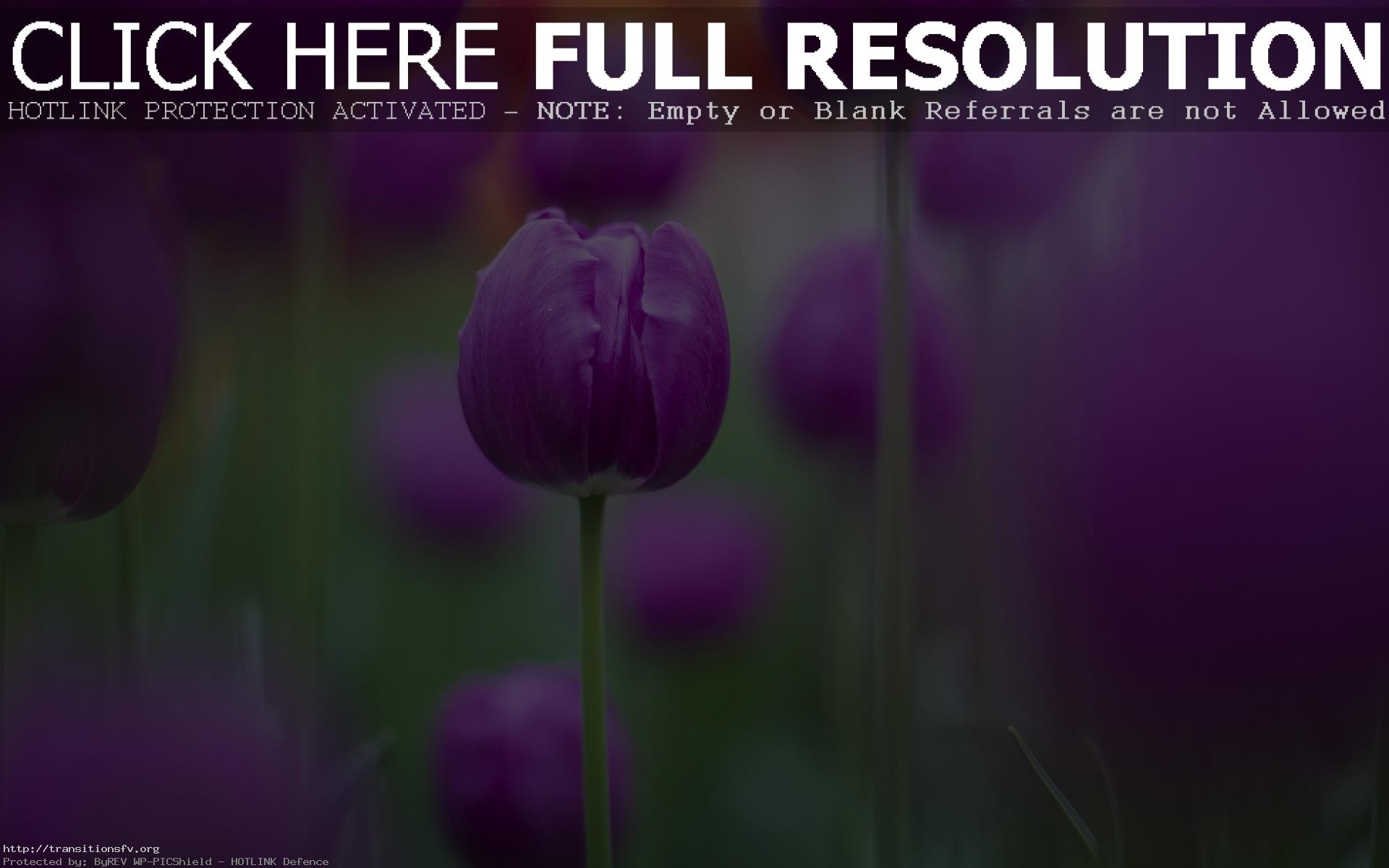 Res: 1920x1200, Purple Colour Tulips HD Flowers 4k Wallpapers Images Backgrounds