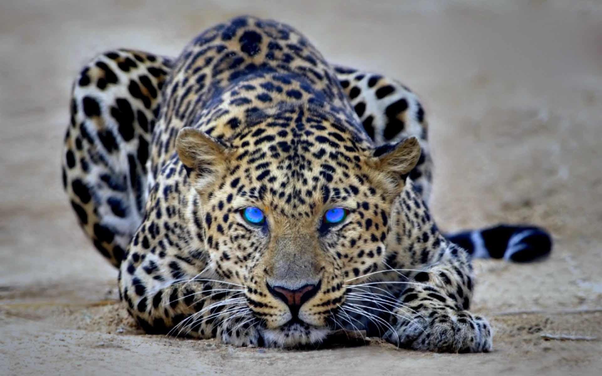 Res: 1920x1200, Cheetah HD wallpaper for download