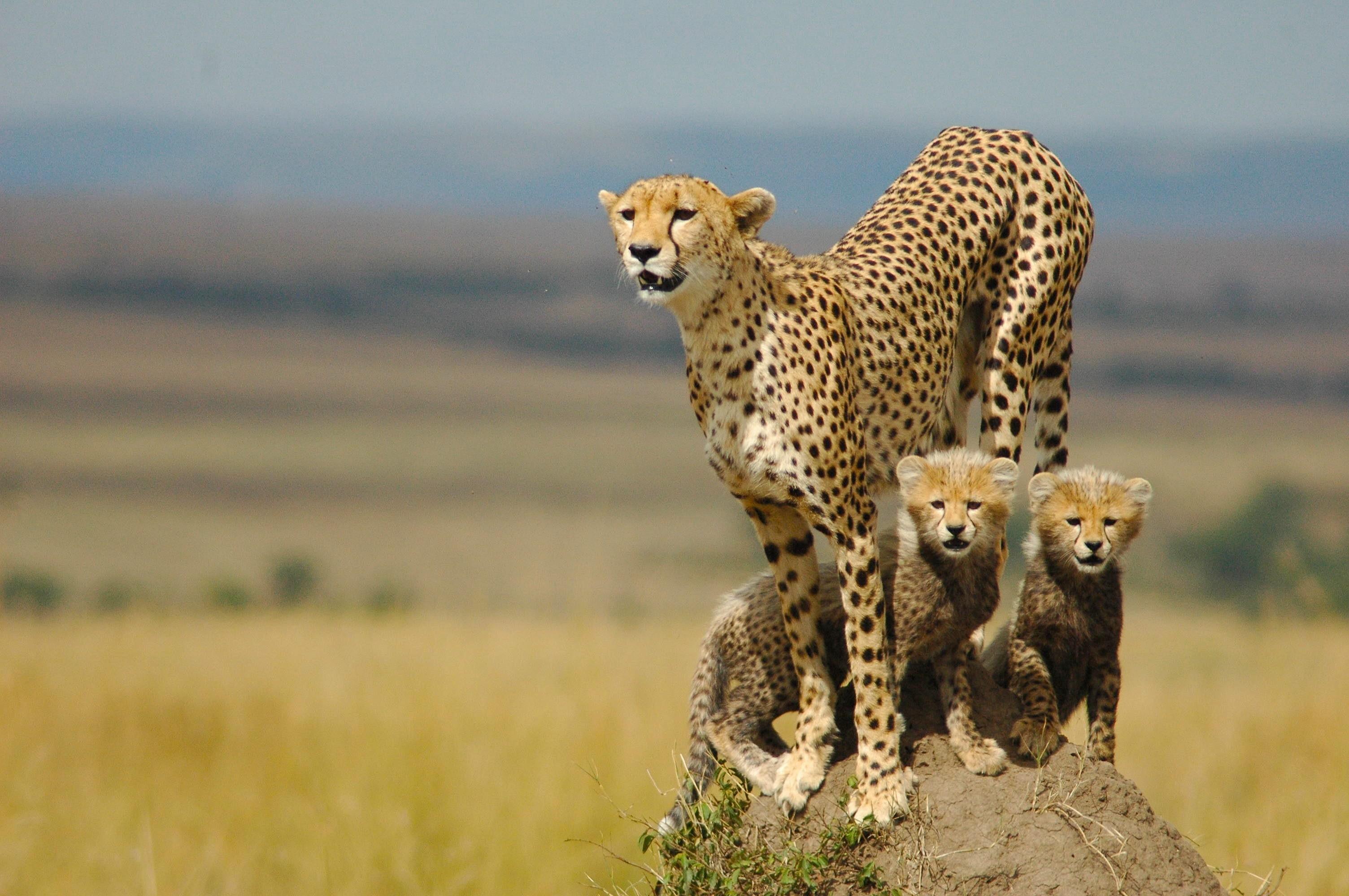 Res: 3008x2000, Cheetah