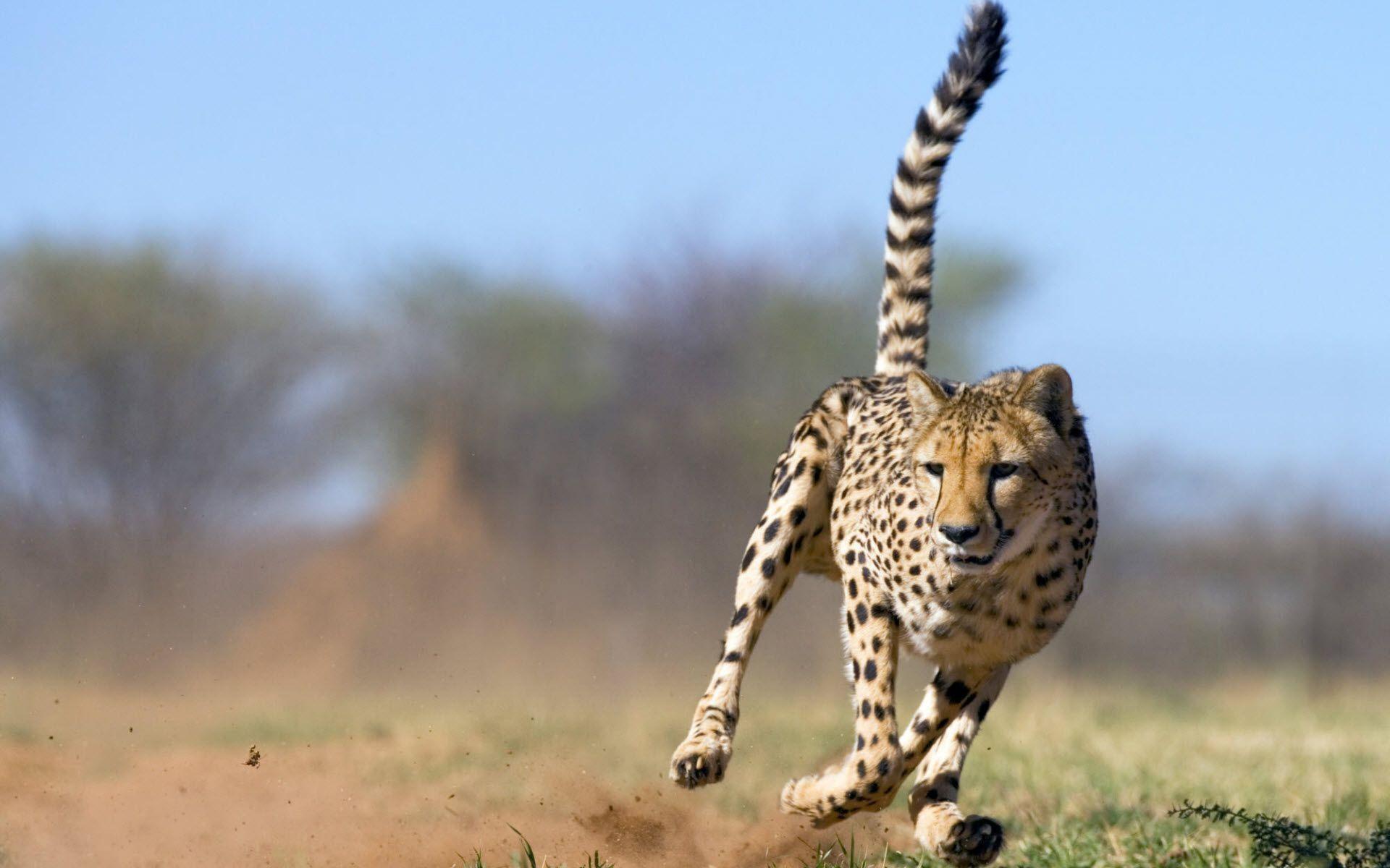 Res: 1920x1200, Cheetah | Wallpapers HD free Download