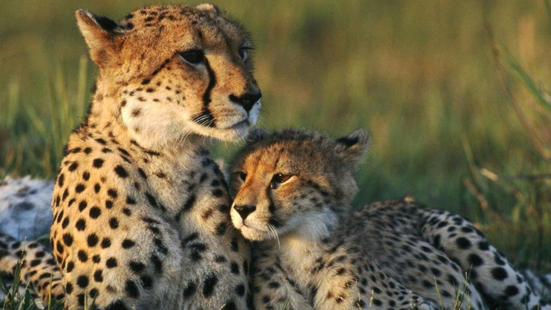 Res: 1920x1080, Cheetah Wallpapers 7 - 1920 X 1080