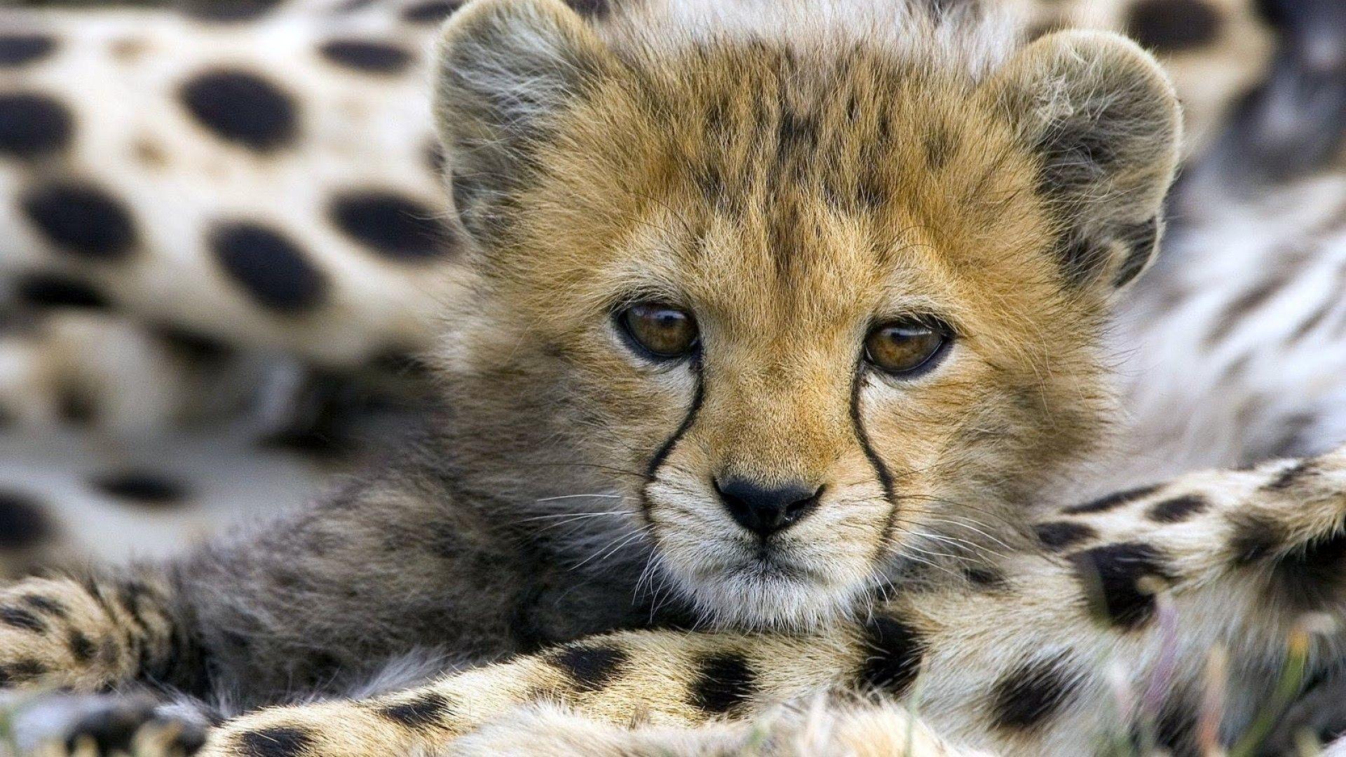 Res: 1920x1080, Baby Cheetah Wallpaper - wallpaper.