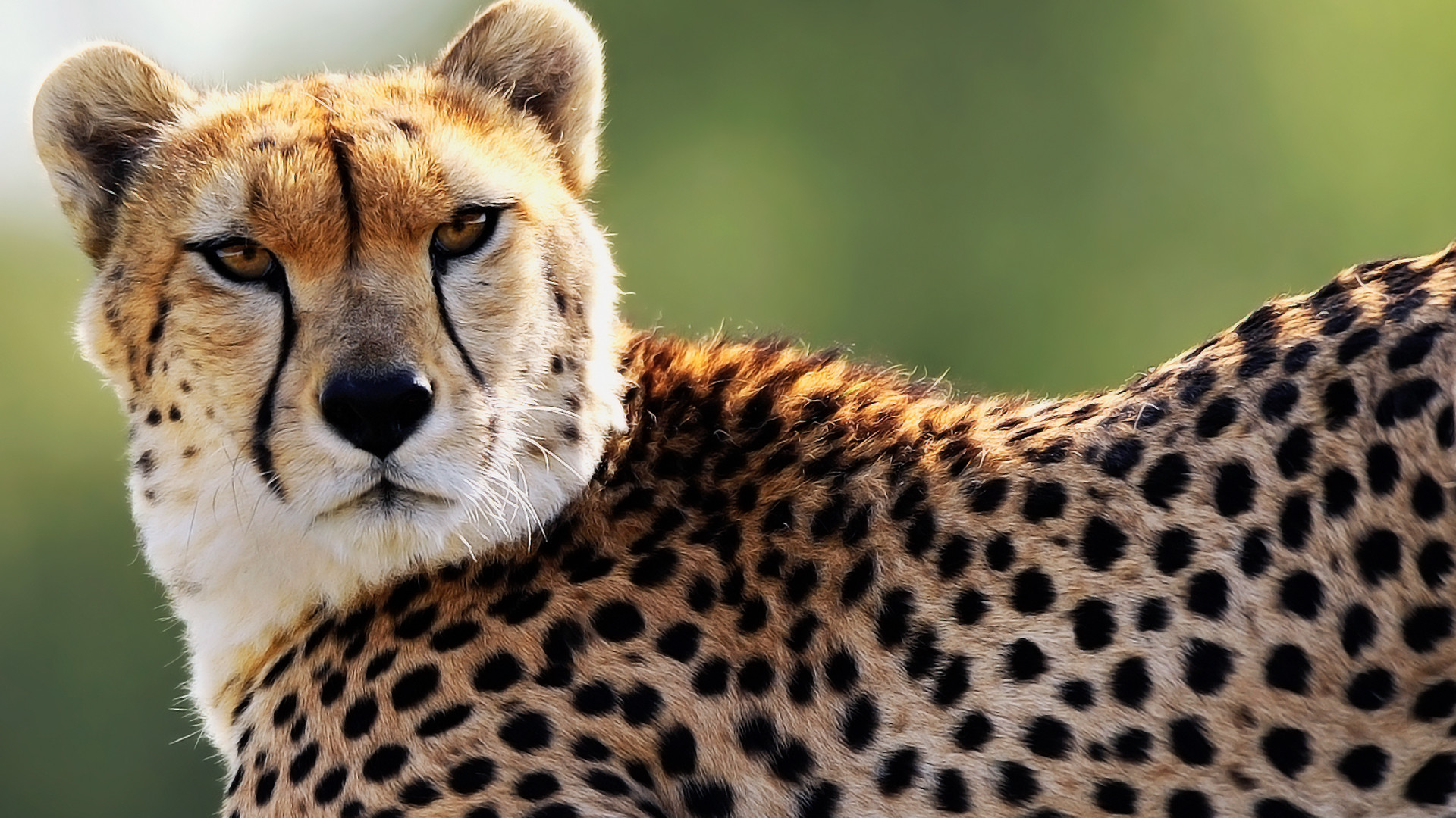Res: 1920x1080, Pictures cheetah wallpapers HD.
