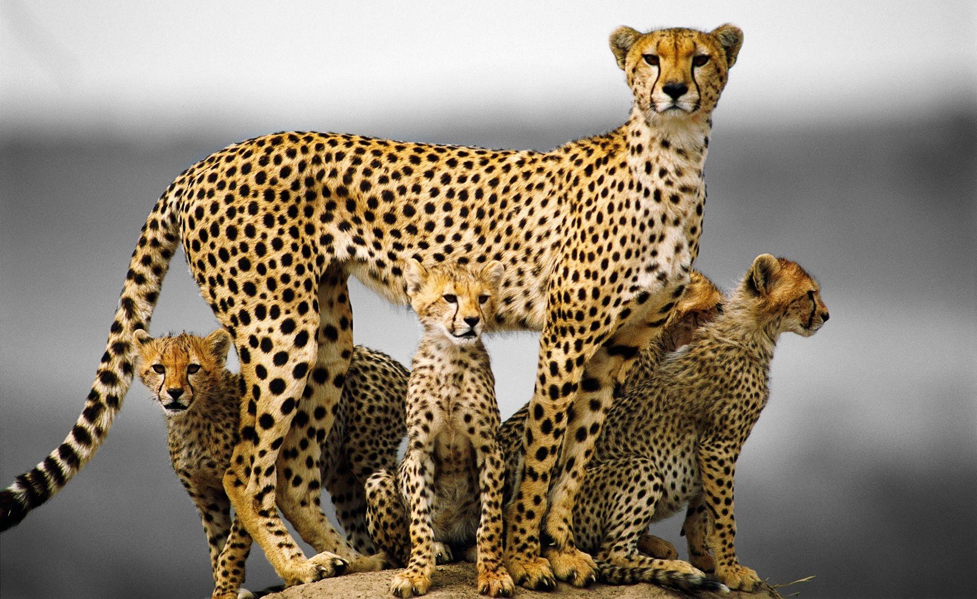 Res: 1920x1178, Cheetah Wallpapers 17 - 1920 X 1178