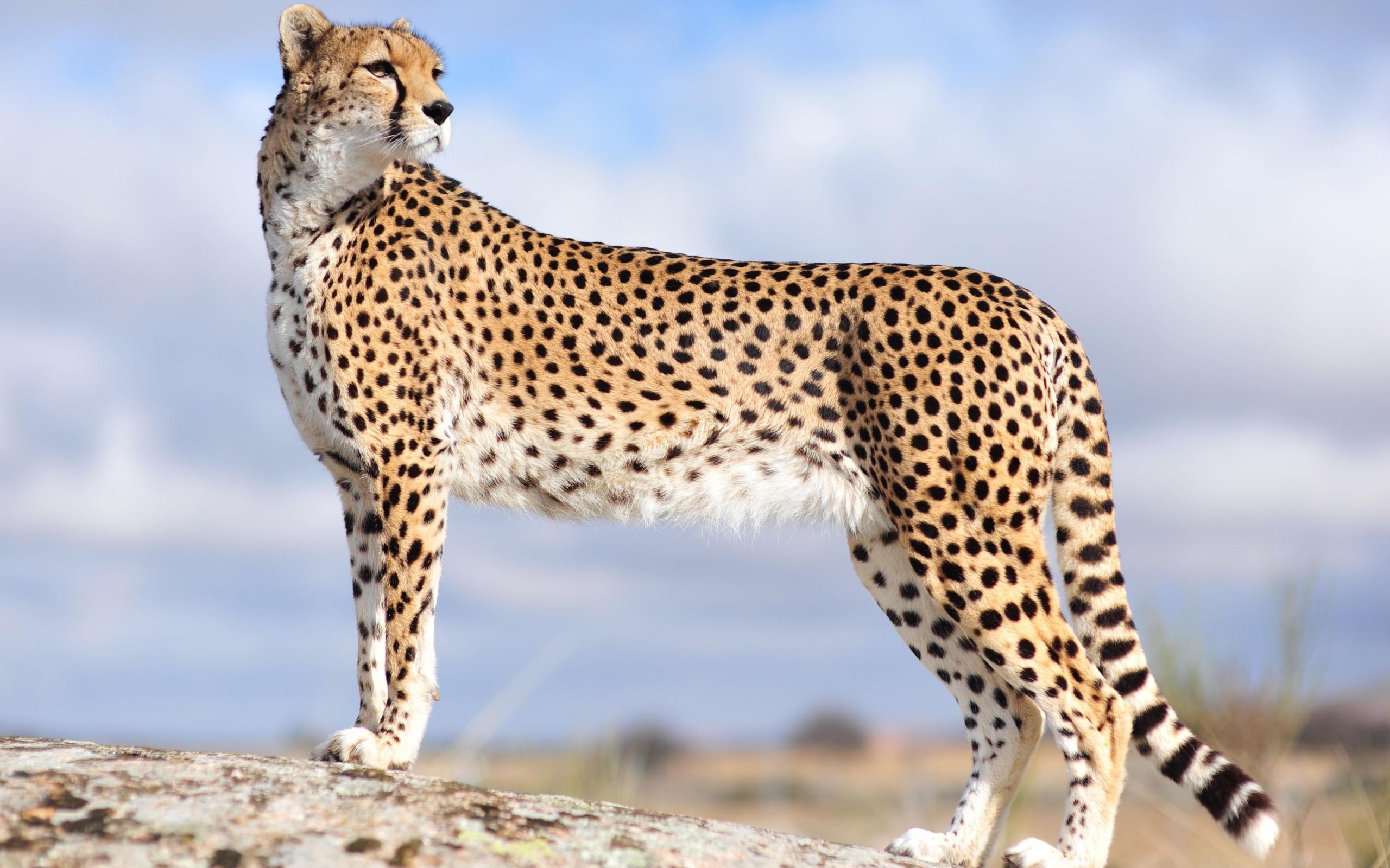Res: 2560x1600, Cheetah Wallpapers 24 - 2560 X 1600