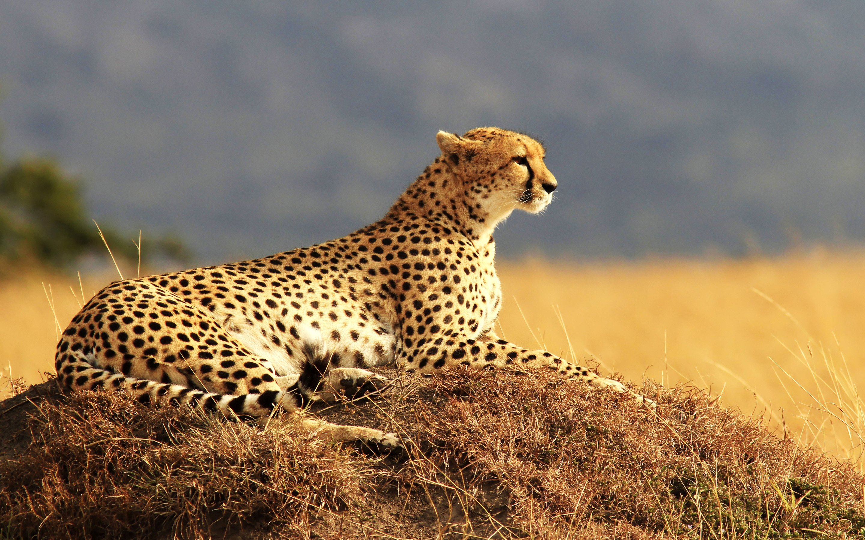 Res: 2880x1800, Cheetah 4K
