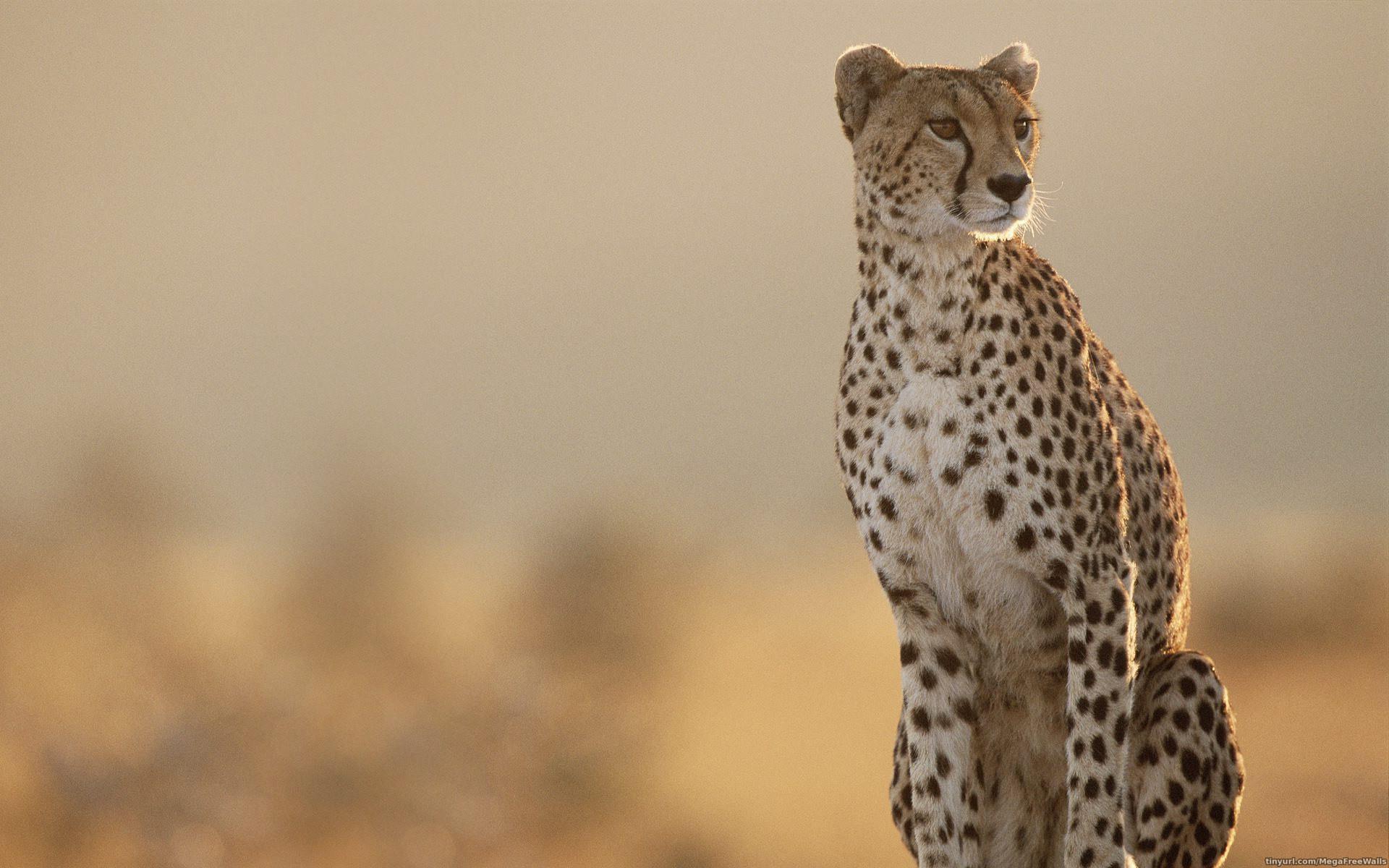 Res: 1920x1200, Cheetah Wallpapers
