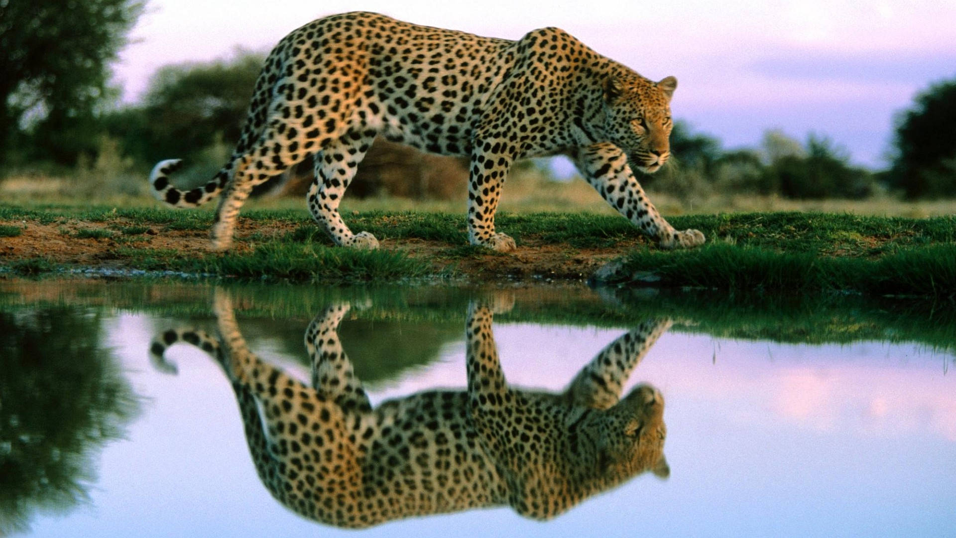 Res: 1920x1080, Cheetah Wallpaper