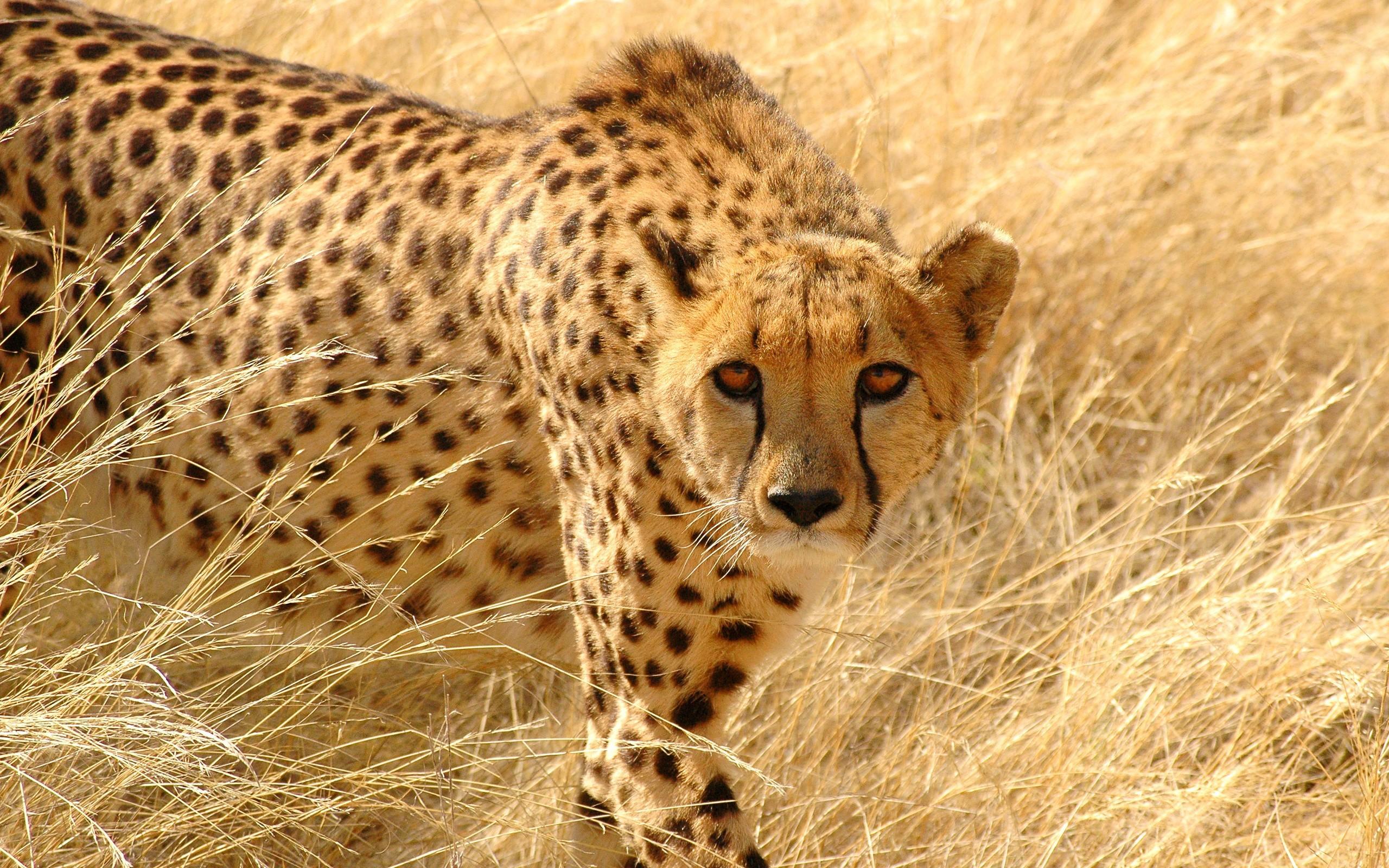 Res: 2560x1600, Cheetah