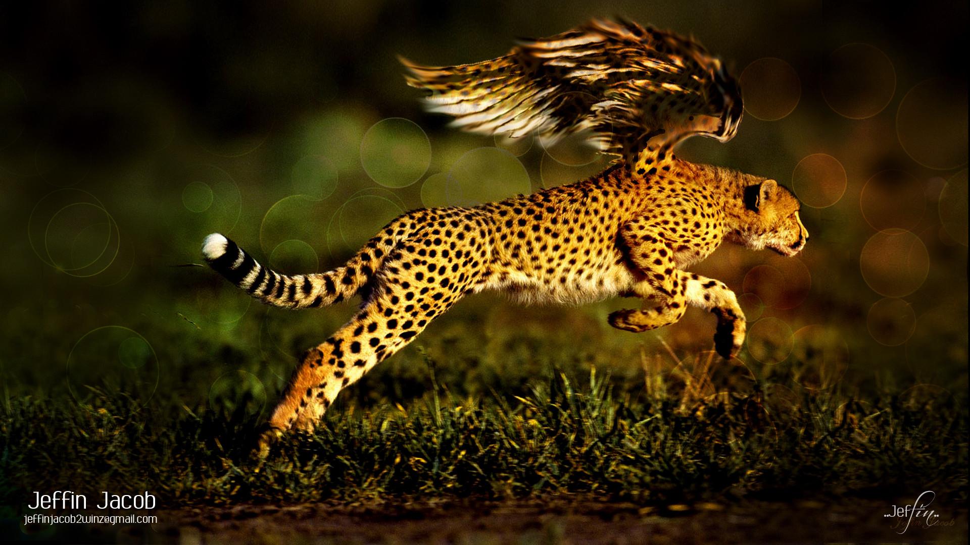 Res: 1920x1080, Cheetah Wallpaper 57