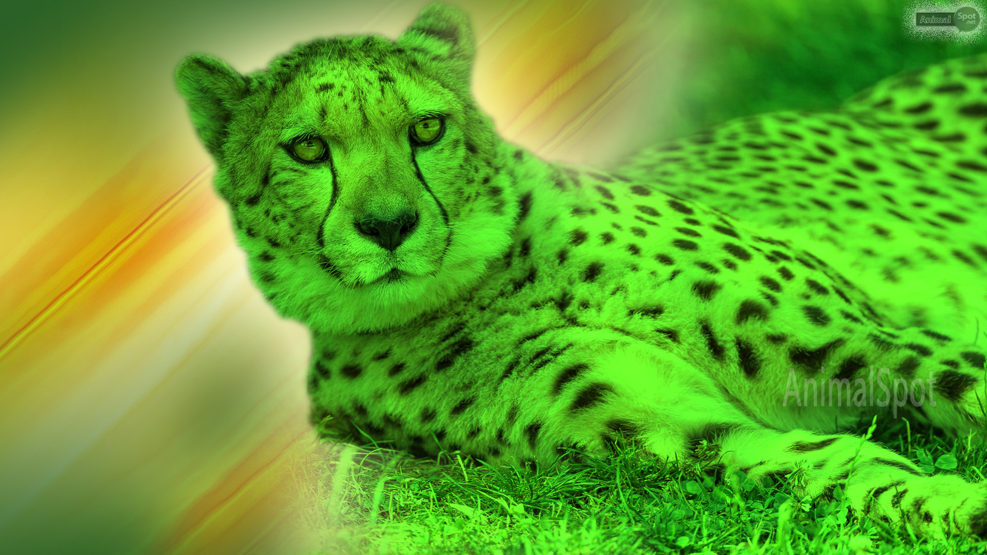 Res: 1920x1080, Best Cheetah Wallpapers and Backgrounds