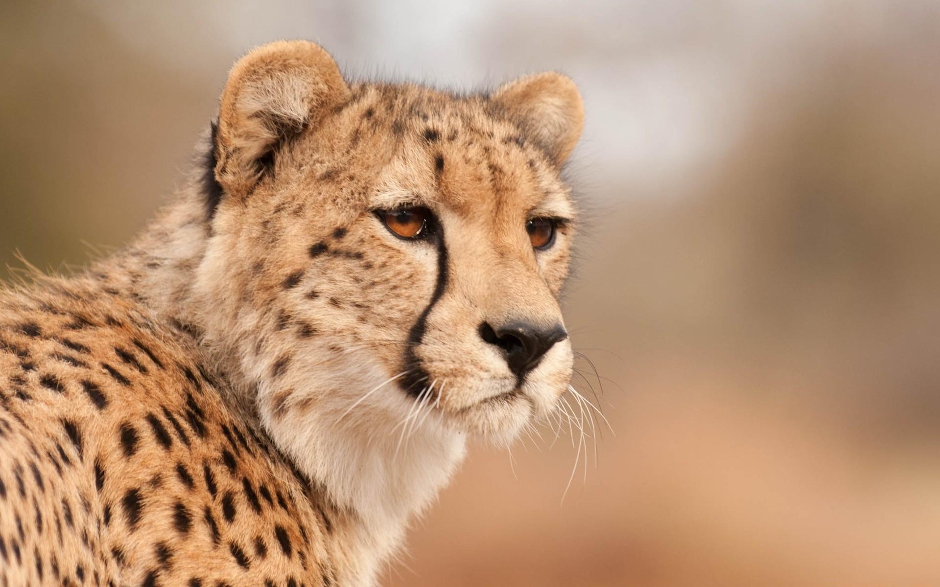Res: 1920x1200, Cheetah Wallpapers 13 - 1920 X 1200