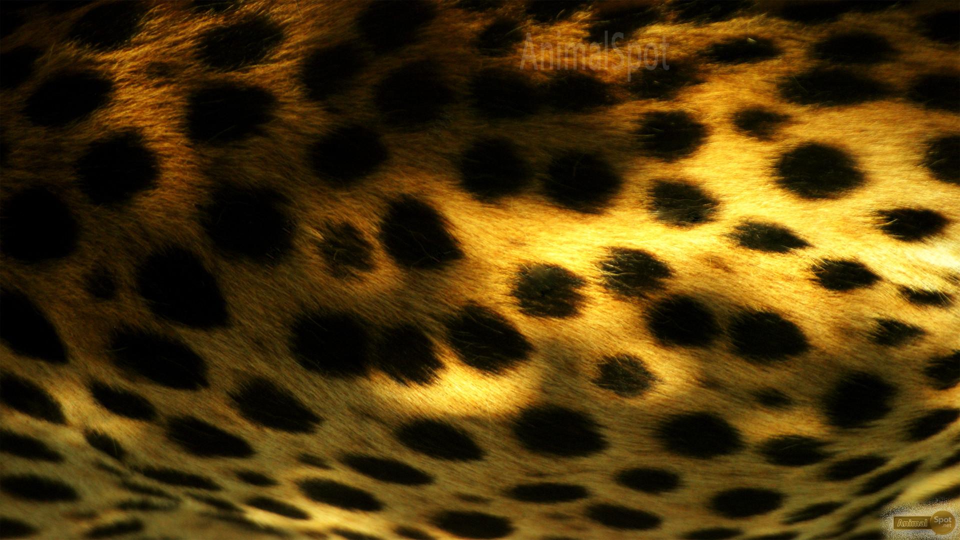 Res: 1920x1080, Cheetah Print Wallpapers