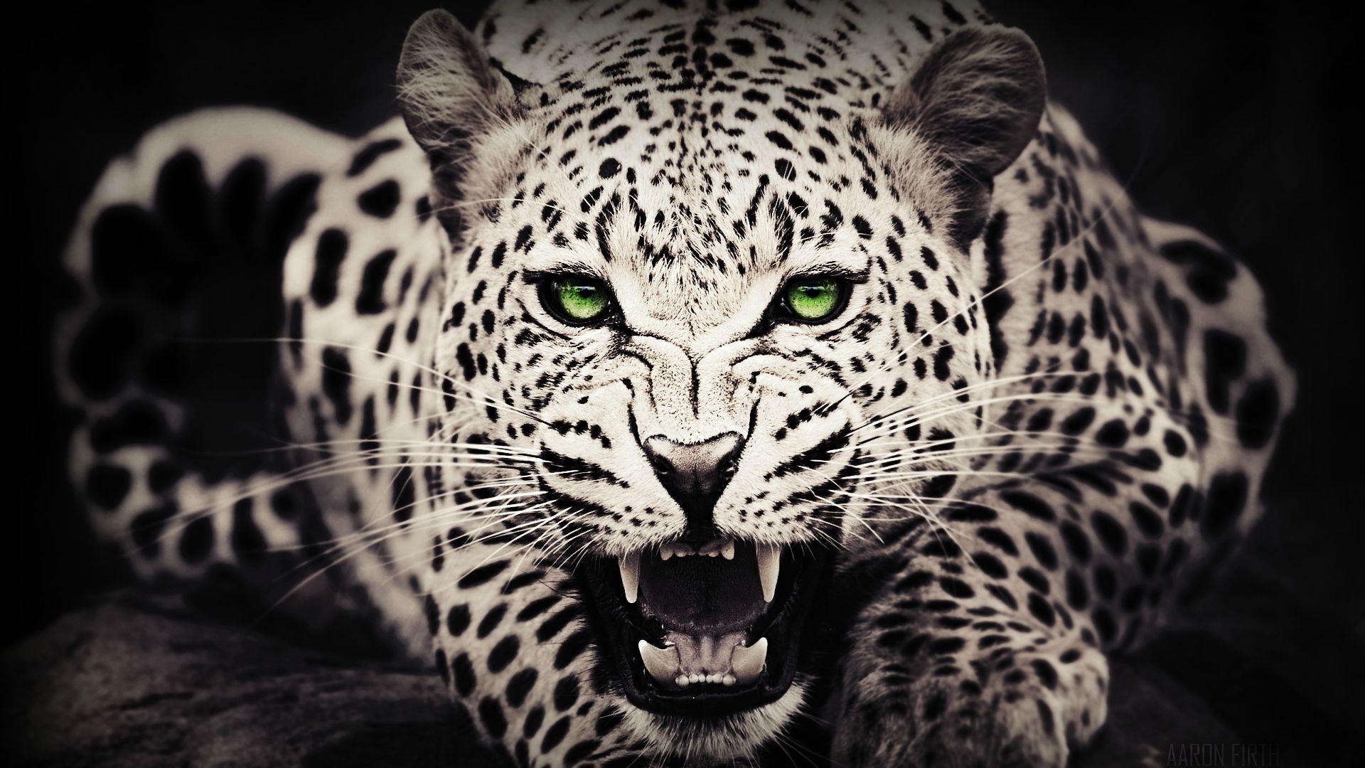 Res: 1920x1080, Black Cheetah Wallpapers - Wallpaper Cave