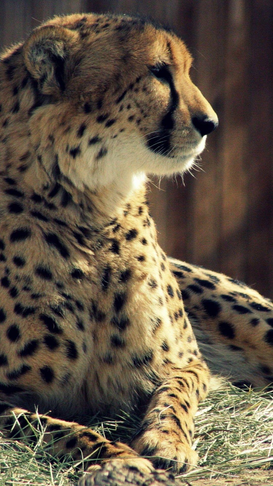 Res: 1080x1920, iPhone 6s Cheetah Wallpaper HD • iPhones Wallpapers
