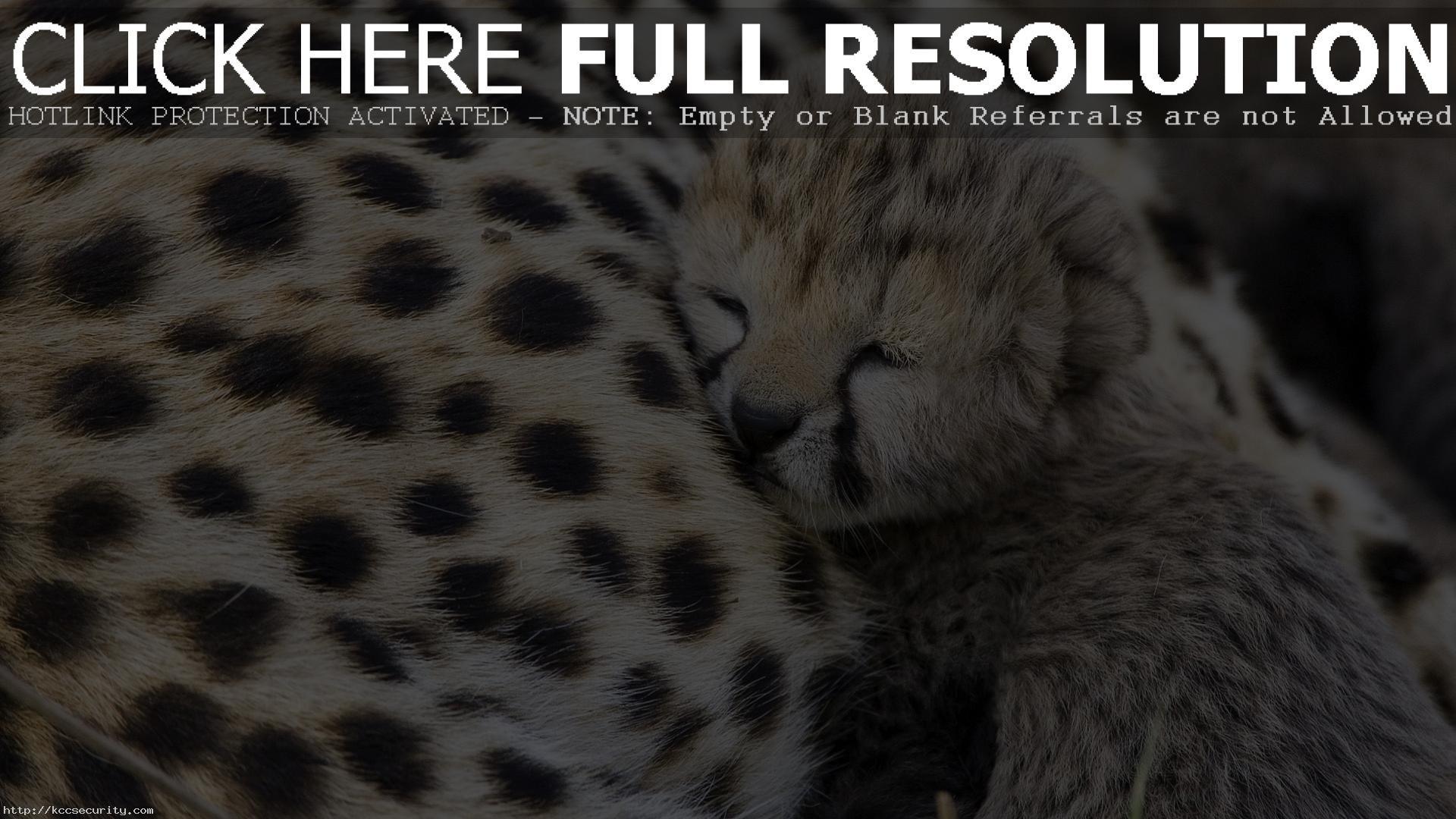 Res: 1920x1080, Cute Baby Cheetah Wallpaper 30516