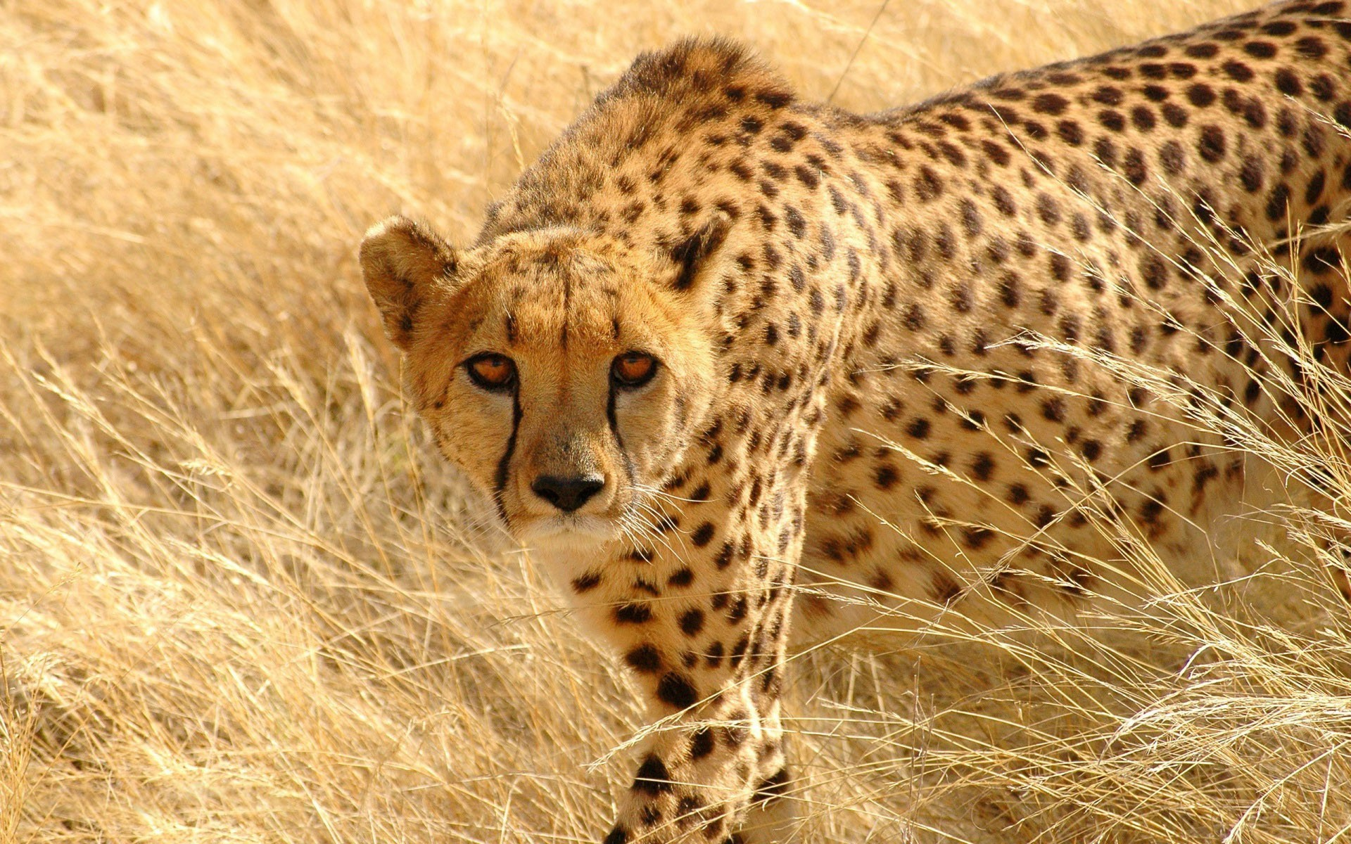 Res: 1920x1200, ... OBQ-79: Cheetah Wallpapers for PC ...