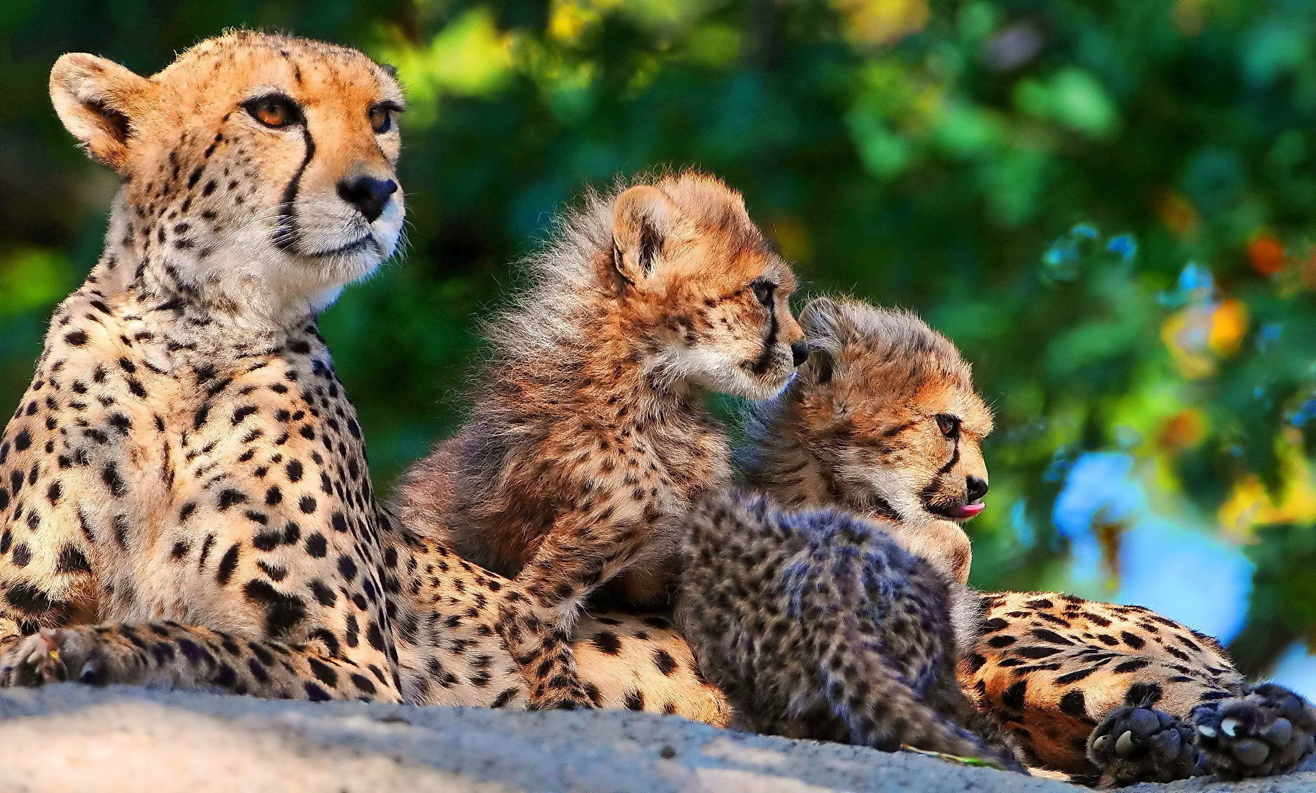 Res: 1920x1157, Free Cheetah Wallpaper