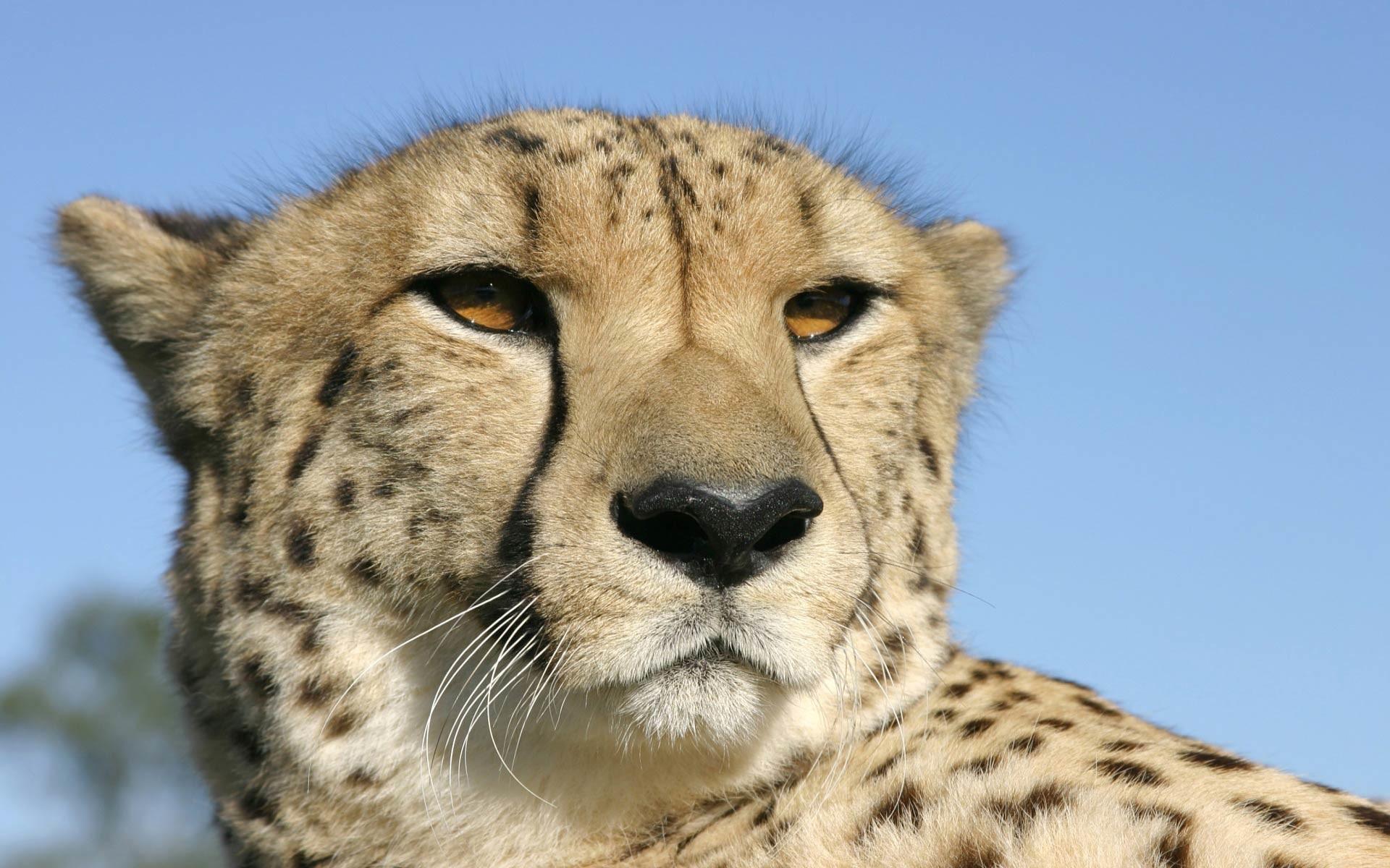Res: 1920x1200, free Cheetah wallpaper wallpapers download