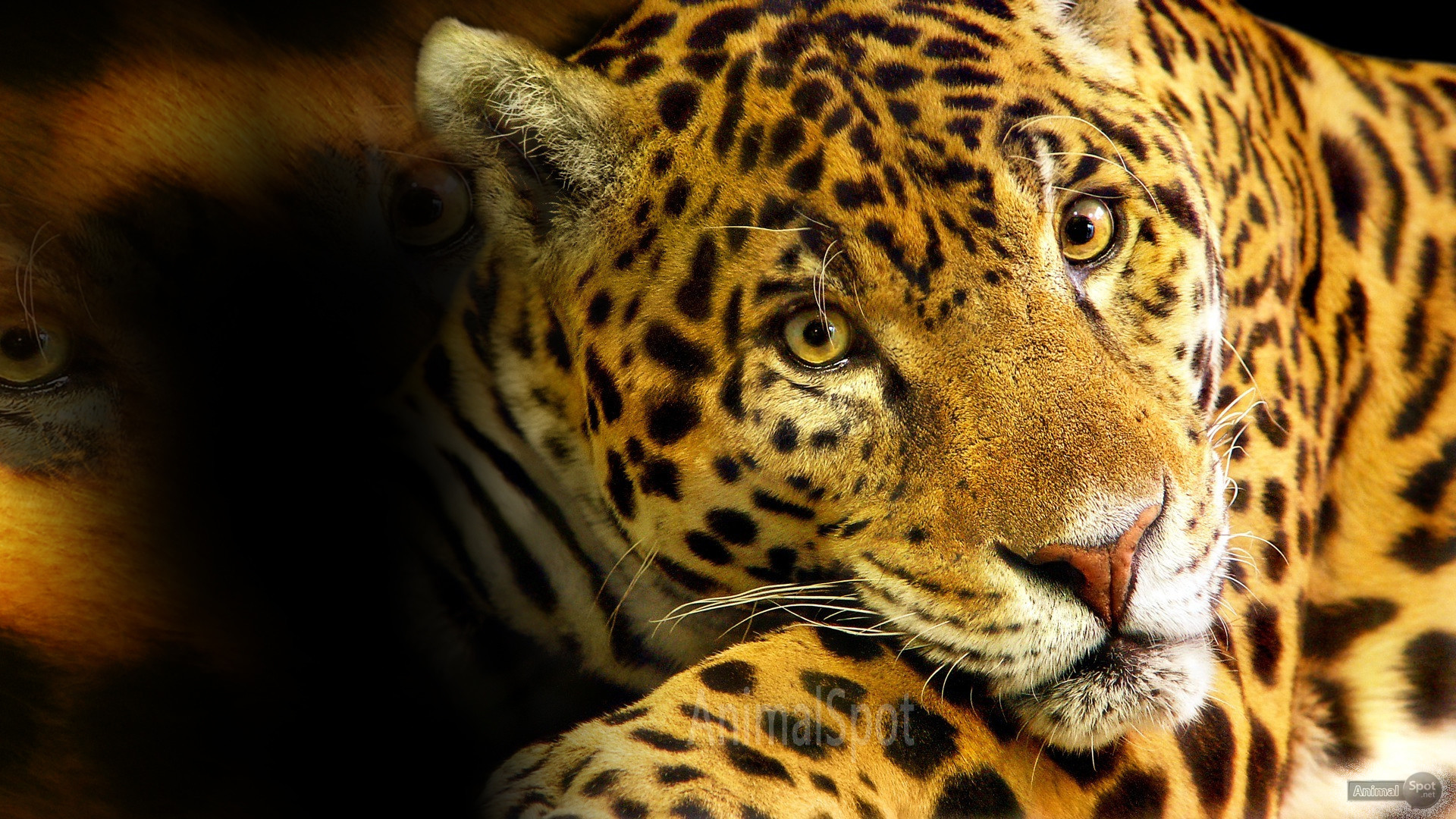 Res: 1920x1080, Cheetah Wallpaper for Desktop