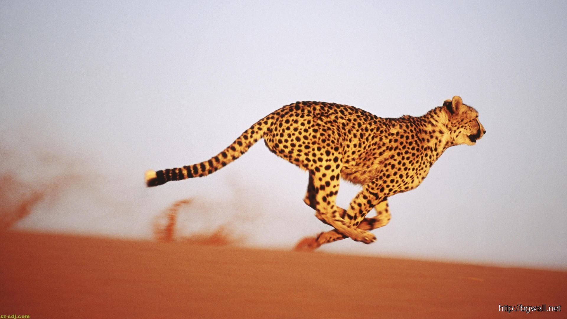 Res: 1920x1080, undefined Baby Cheetah Wallpapers (45 Wallpapers) | Adorable Wallpapers