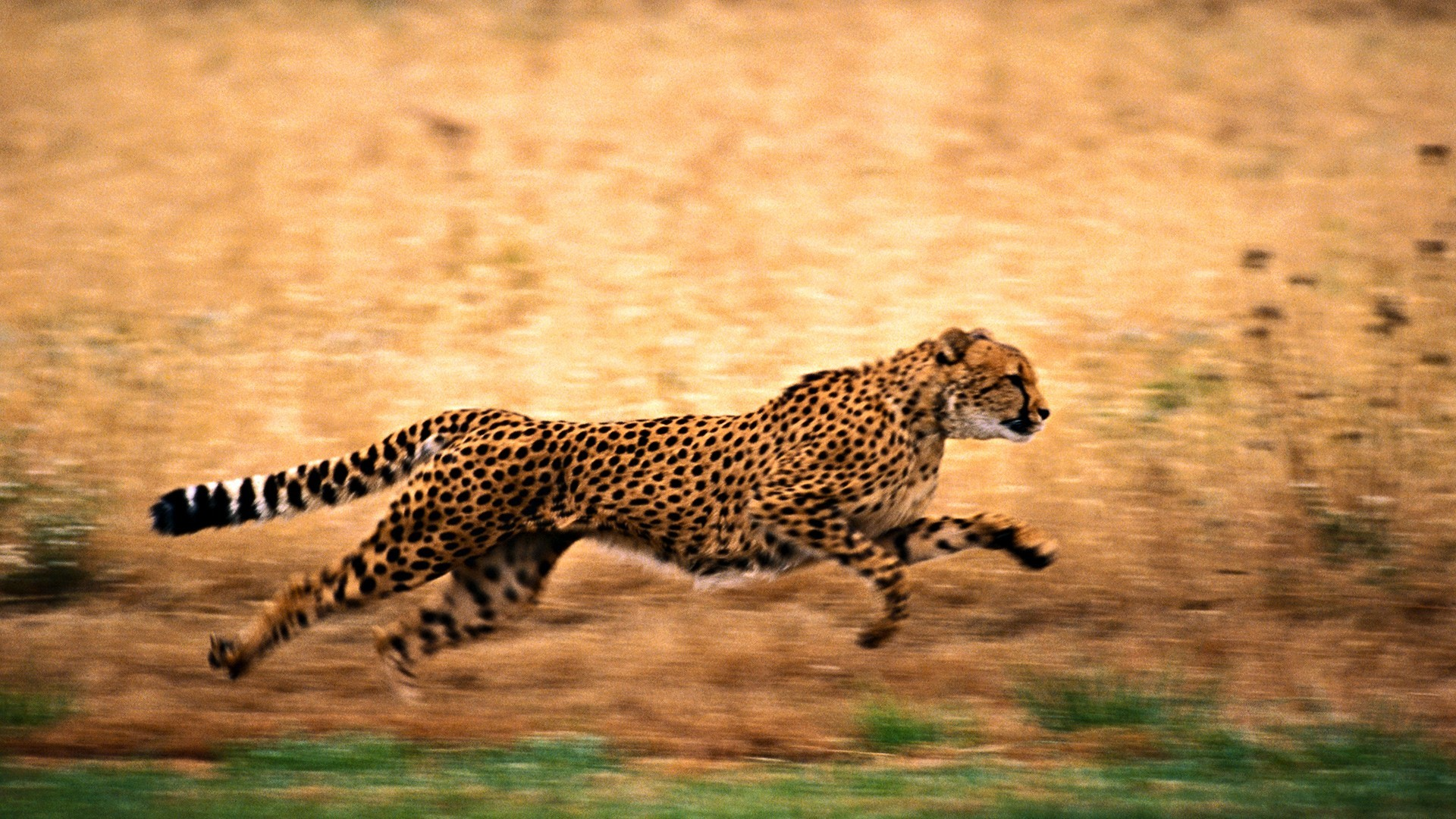 Res: 1920x1080, Free Download Cheetah in High Definition quality wallpapers for Desktop and  Mobiles in HD, Wide, 4K and 5K resolutions.