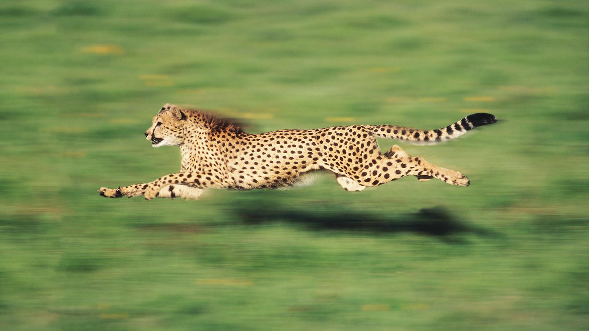 Res: 1920x1080, Cheetah Wallpaper HD Backgorunds.