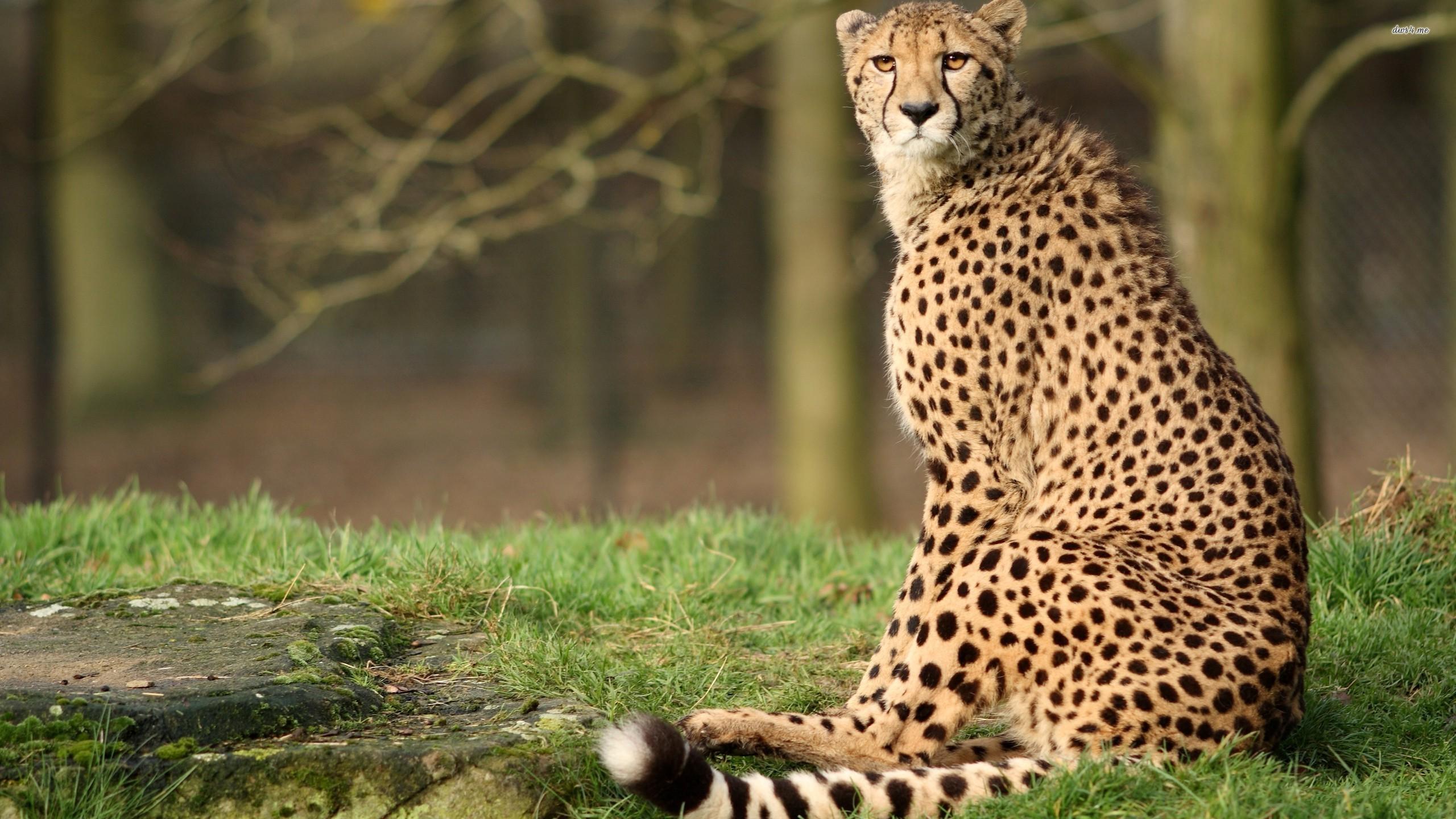 Res: 2560x1440, ... Cheetah wallpaper  ...