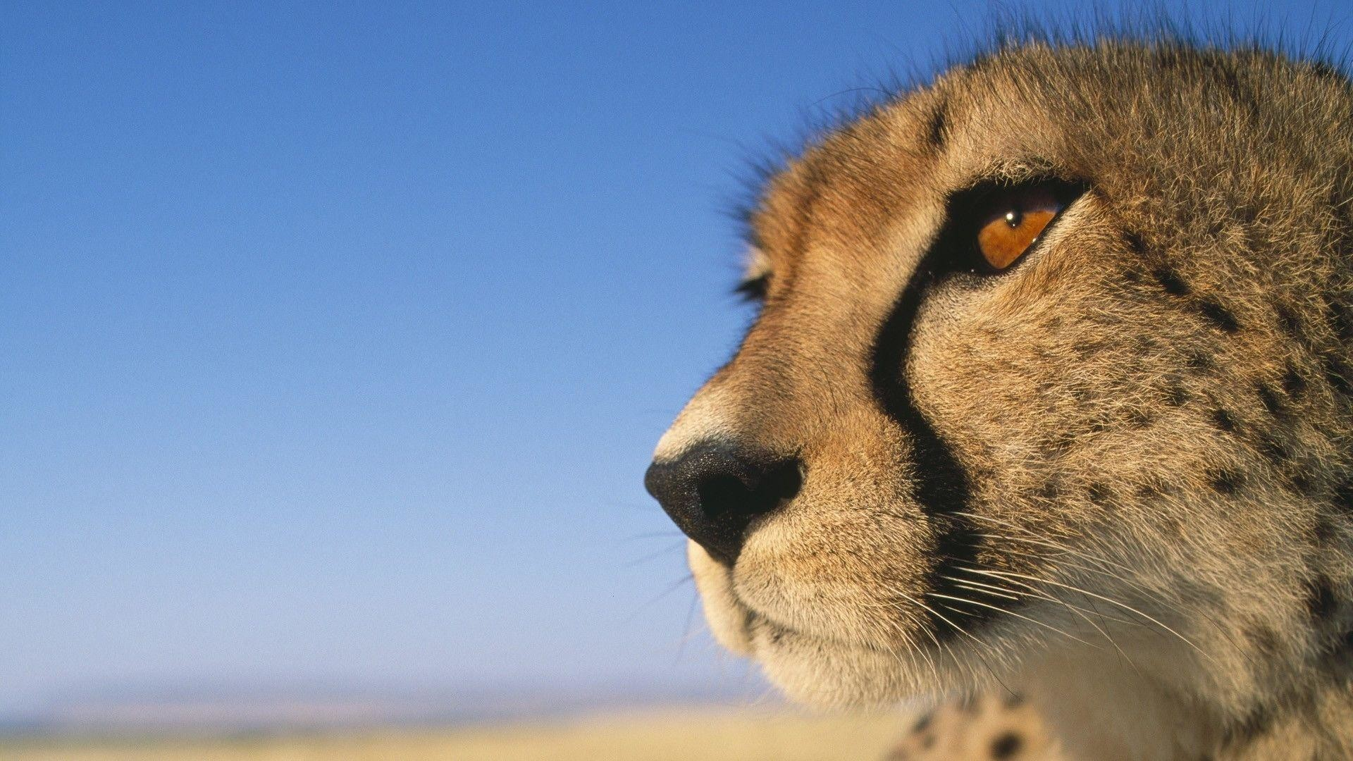 Res: 1920x1080, 226 Cheetah Wallpapers | Cheetah Backgrounds Page 5