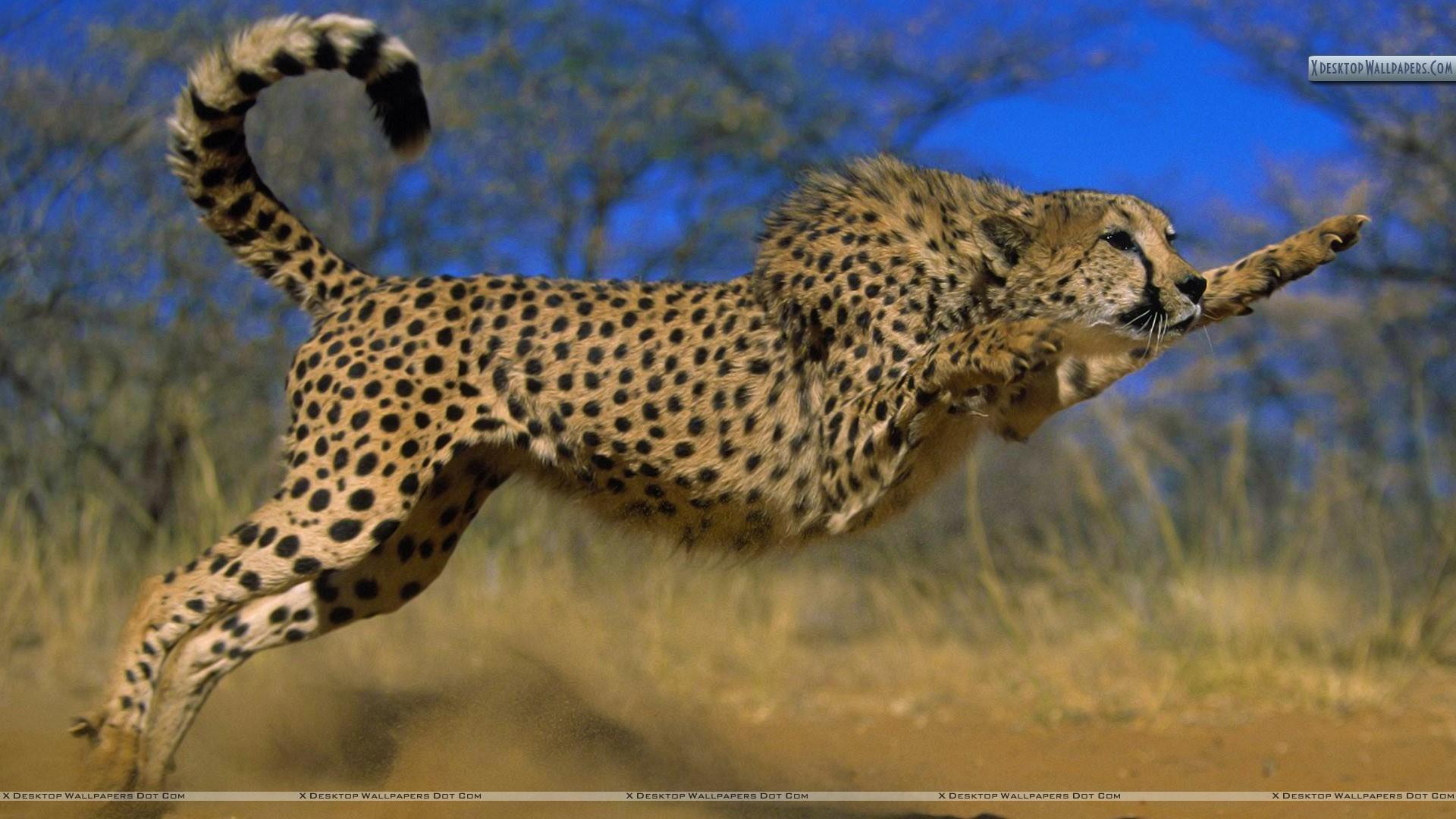 Res: 1920x1080, Cheetah Wallpaper 84