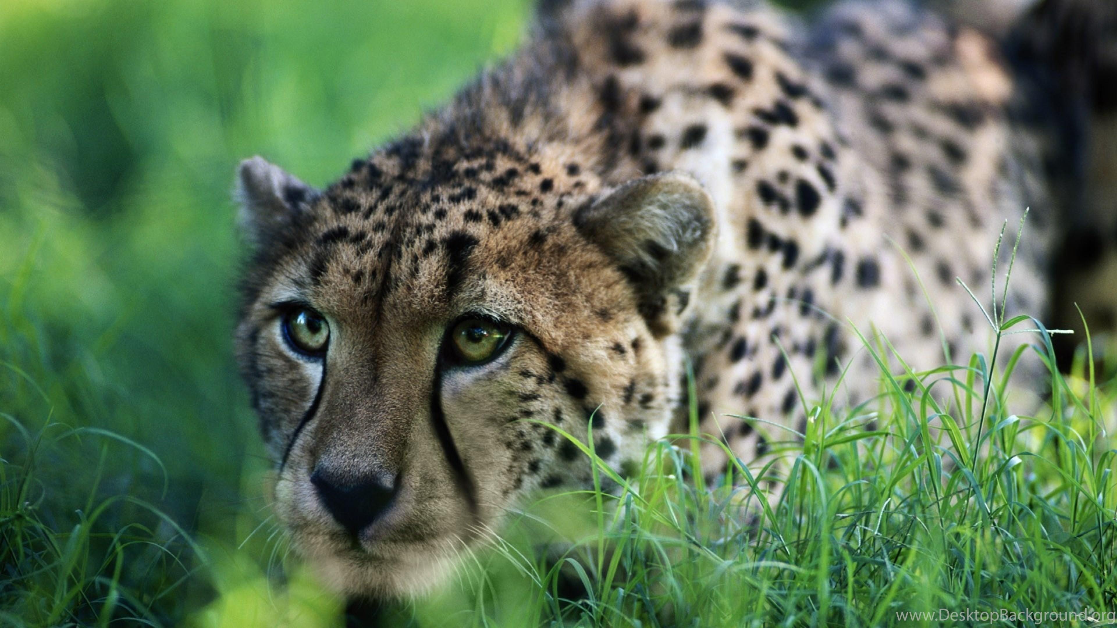 Res: 3840x2160, 4K Ultra HD Cheetah Wallpapers HD, Desktop Backgrounds  .