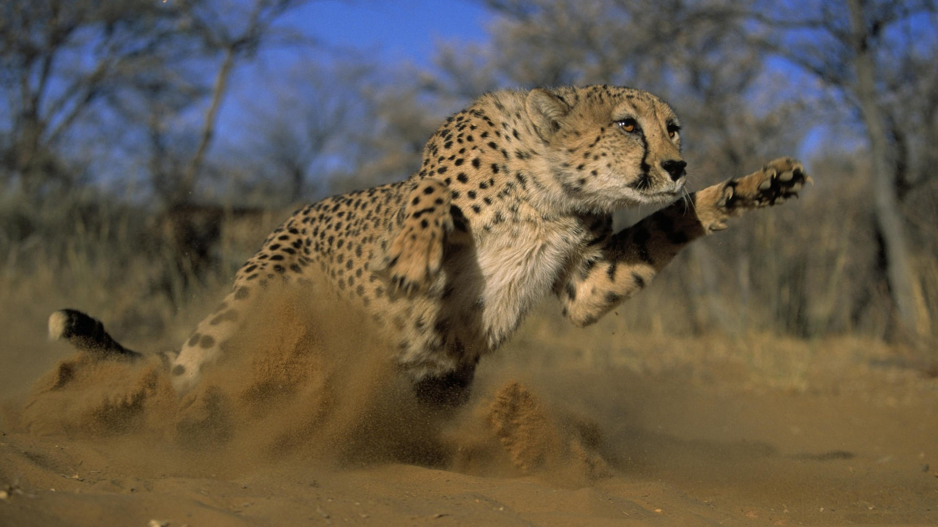 Res: 1920x1080, Wallpaper Cheetah, Jump, Run, Field, Grass, Dust HD, Picture, Image