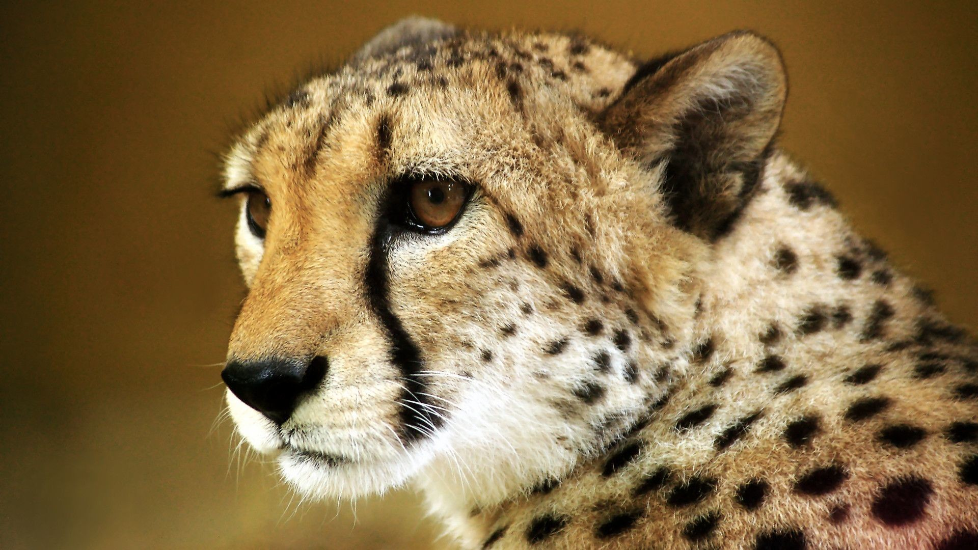 Res: 1920x1080, Baby Cheetah Wallpapers Group 1920×1080 Baby Cheetah Wallpapers (45  Wallpapers) | Adorable