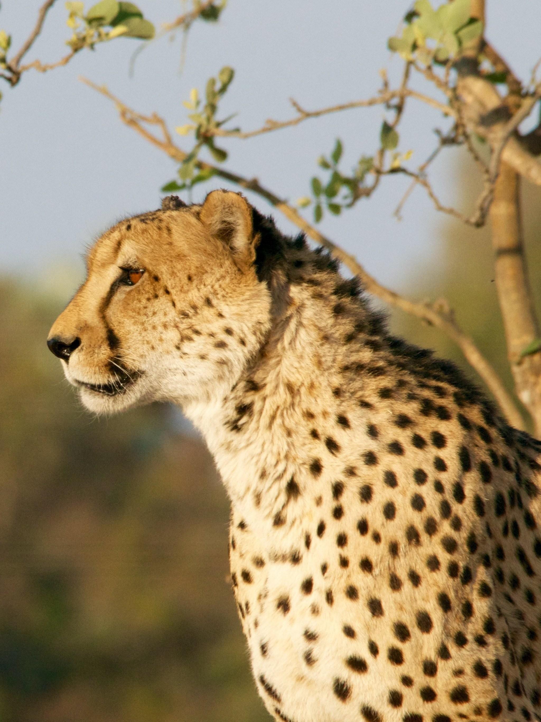 Res: 2048x2732, Cheetah