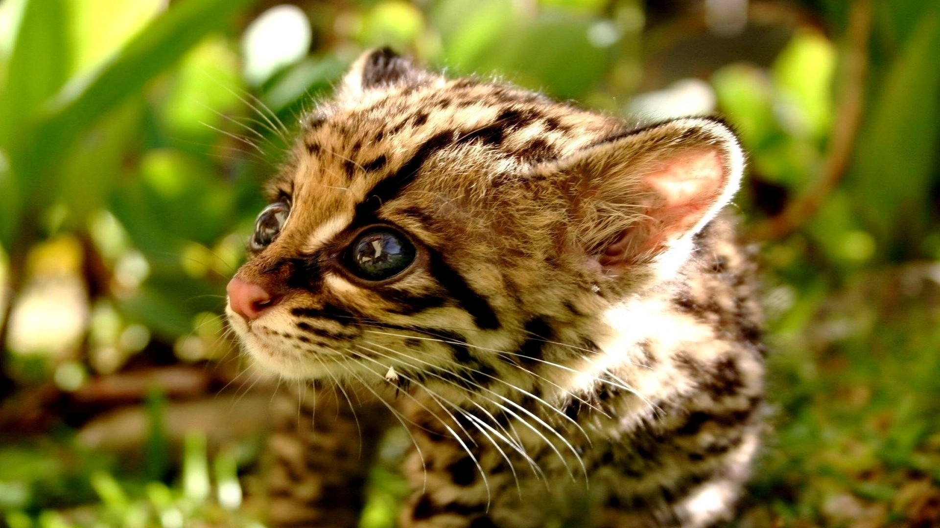 Res: 1920x1080, Collection of Baby Cheetah Wallpapers, M.F. Backgrounds